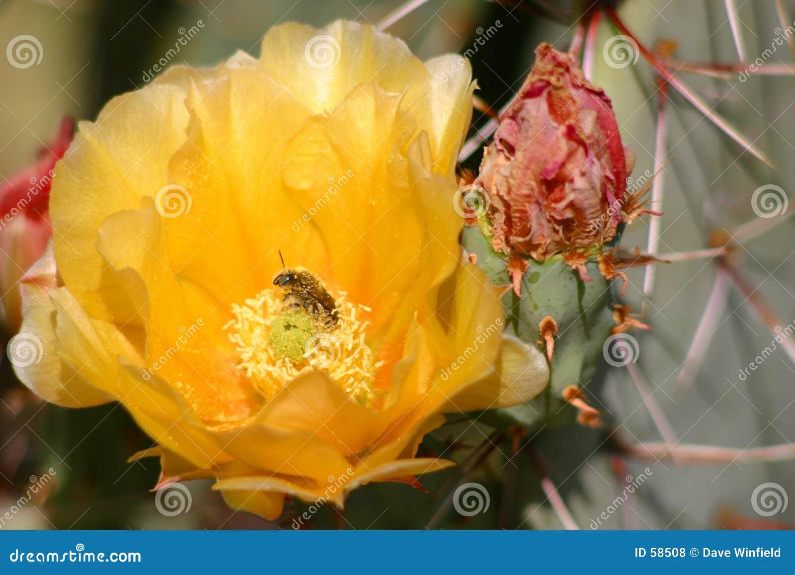 Flor de la pera espinosa