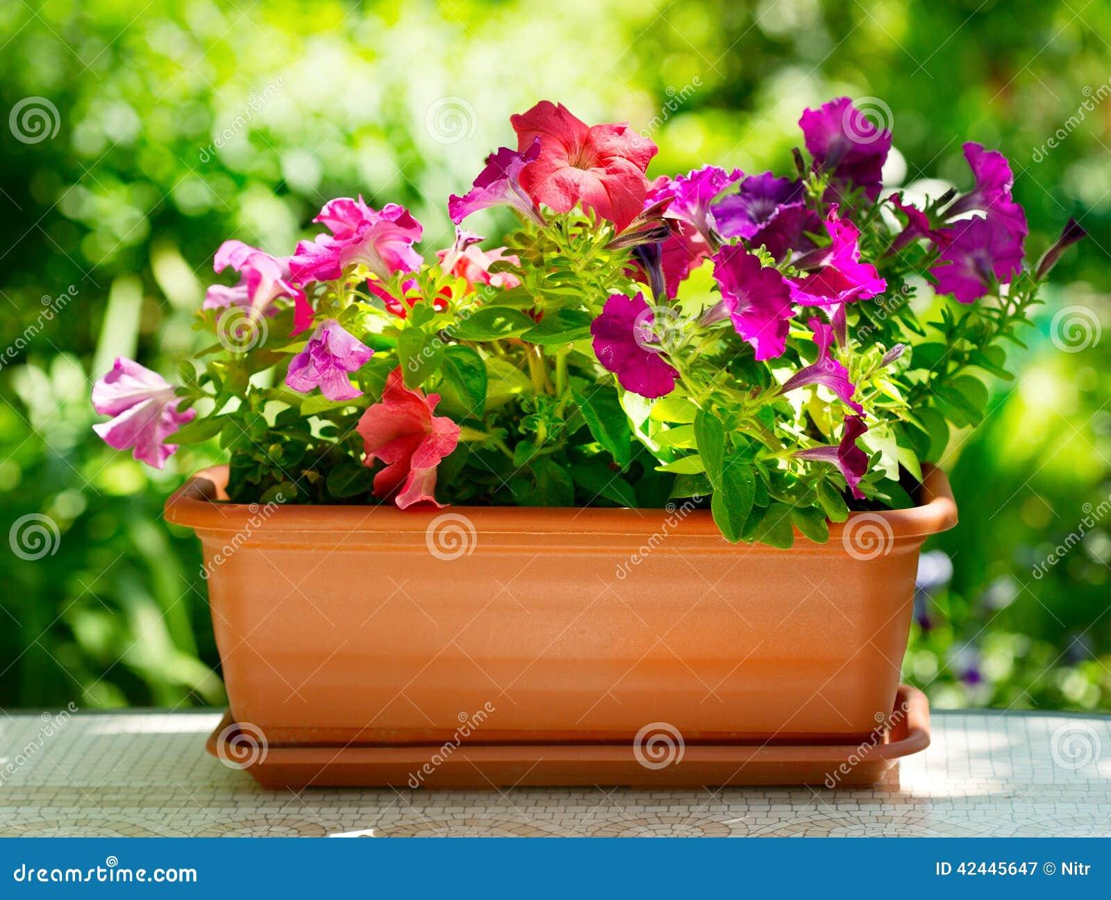 Flor de la petunia