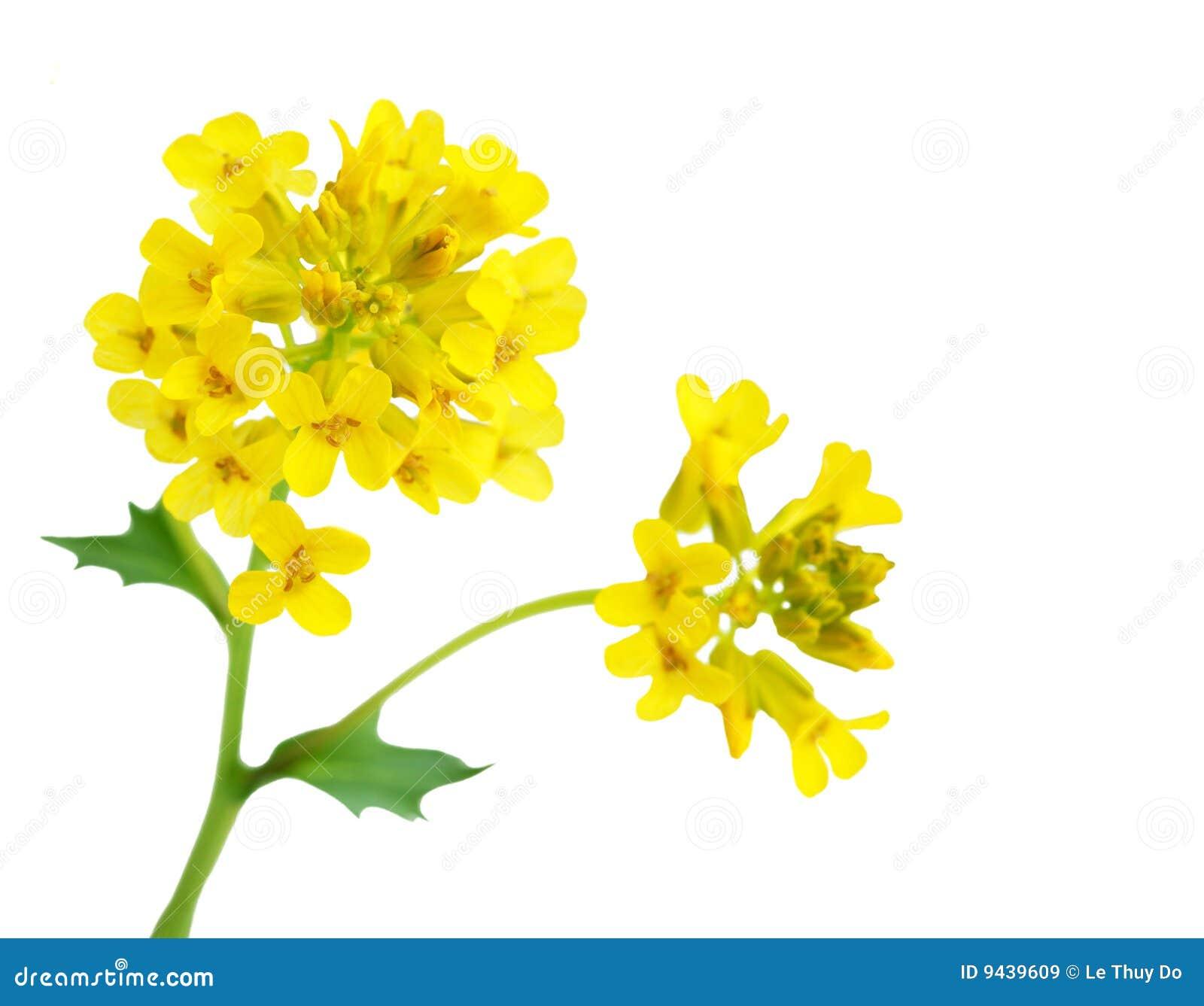 Flor de la rabina