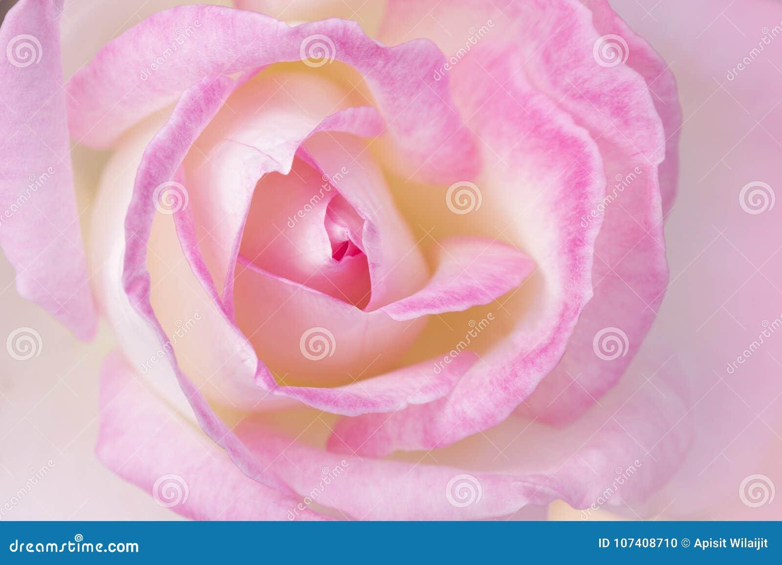 Flor De La Rosa Del Rosa Con La Forma Del Corazón Foto De Archivo