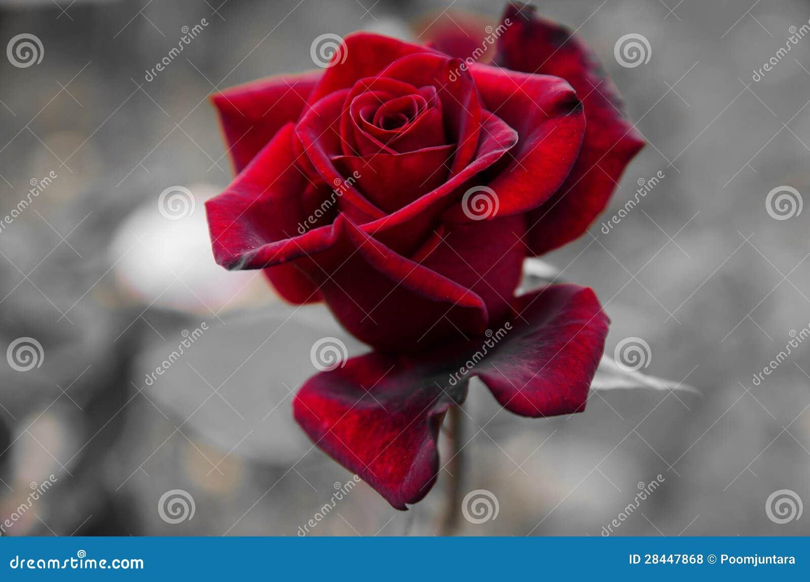 Flor de la rosa del rojo