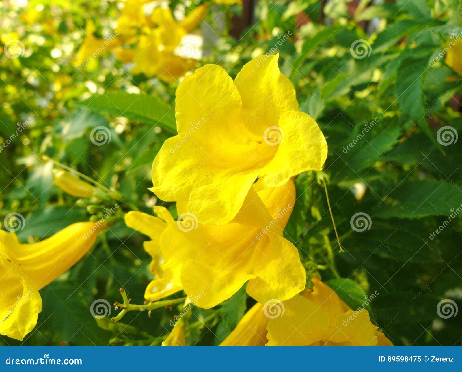 Flor de la vid de la garra de los gatos