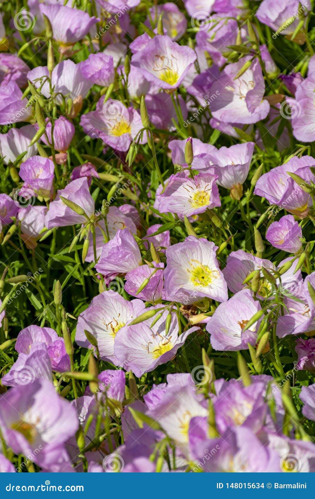 Flor de las flores rosadas de la camp?nula de los bellflowers en el jard?n, fondo de la naturaleza