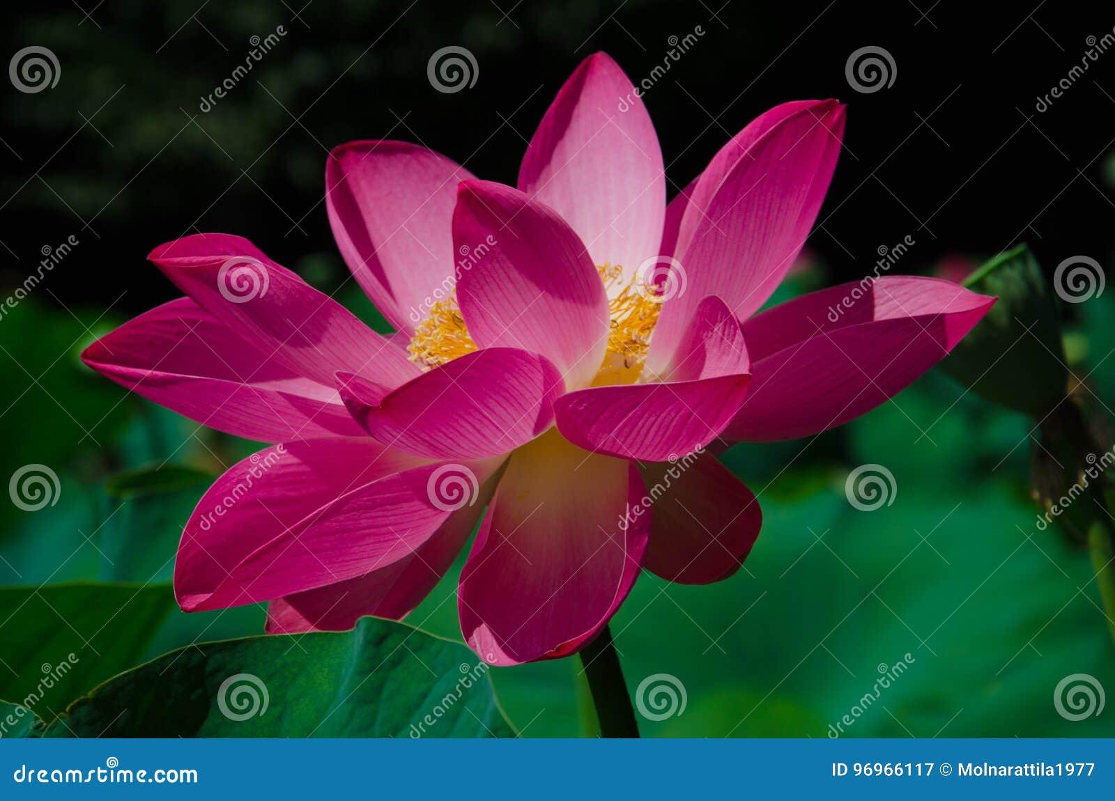 Flor de loto 3
