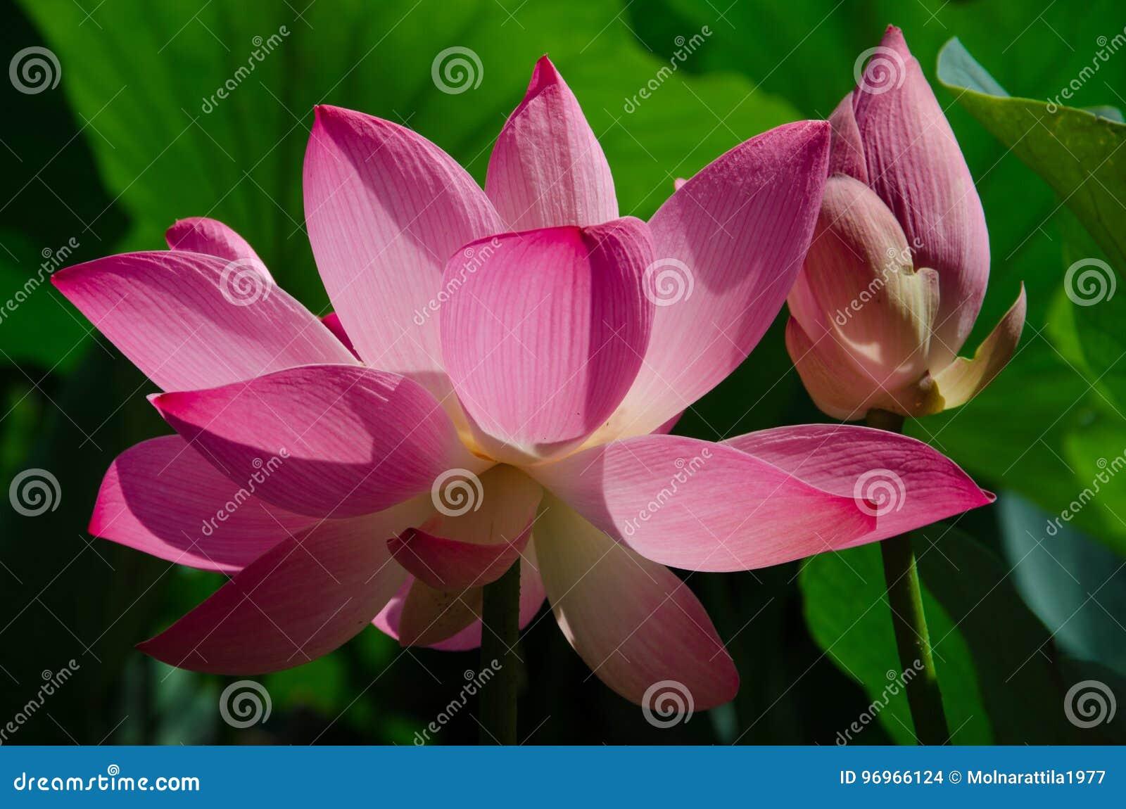 Flor de loto 2