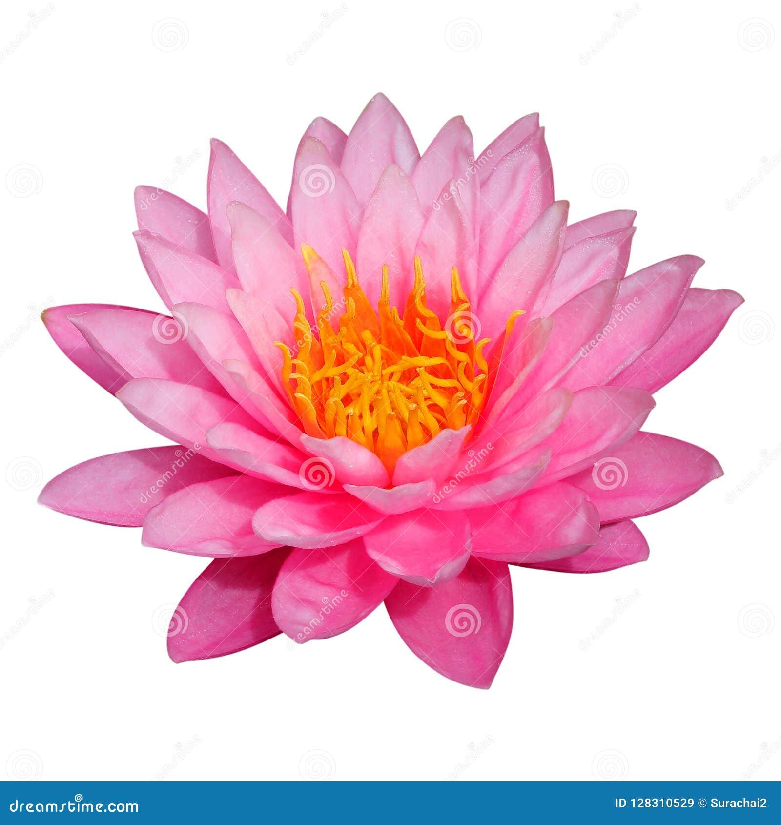 Flor de loto aislada en el fondo blanco