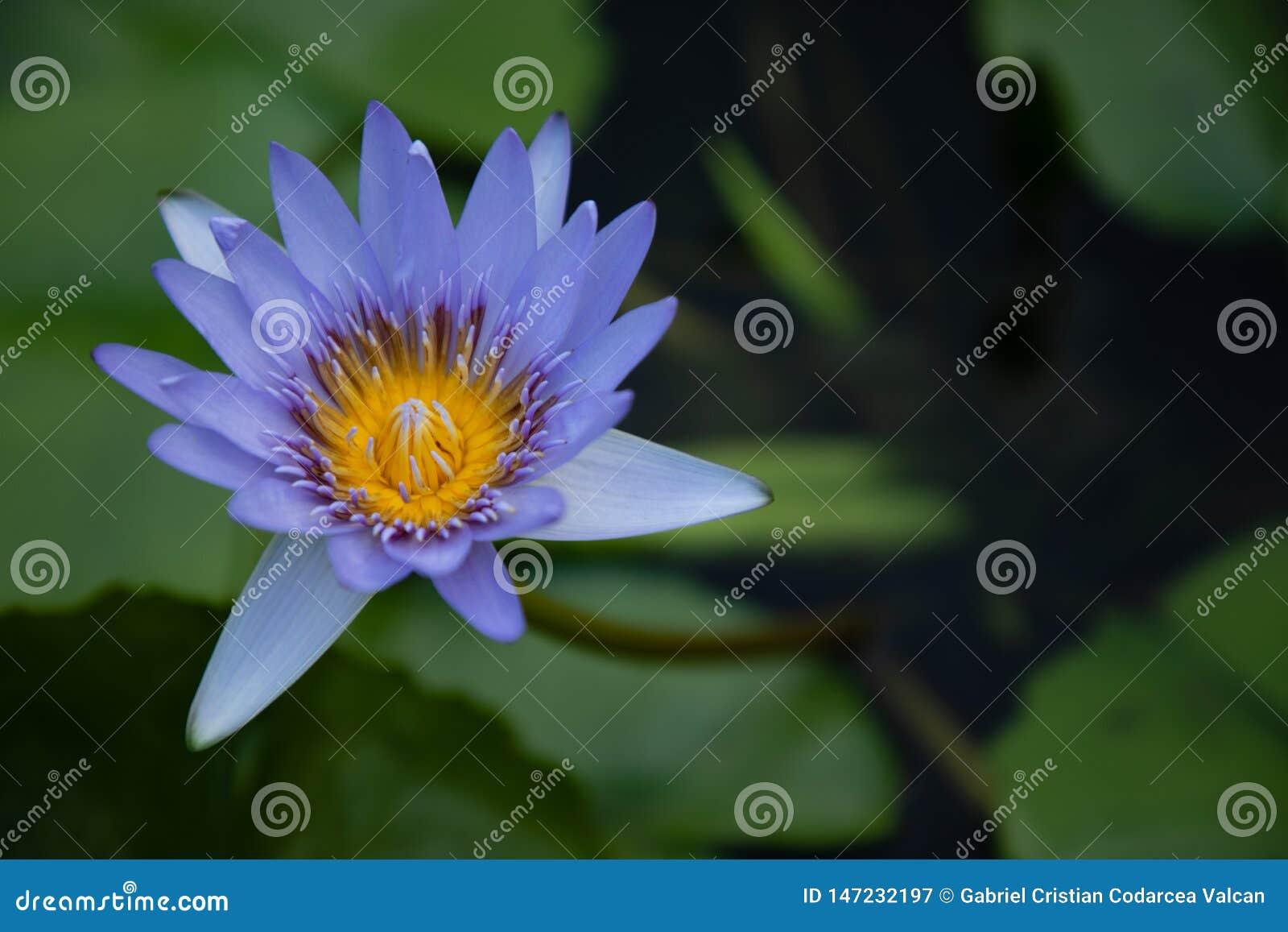 Flor de loto azul y amarilla