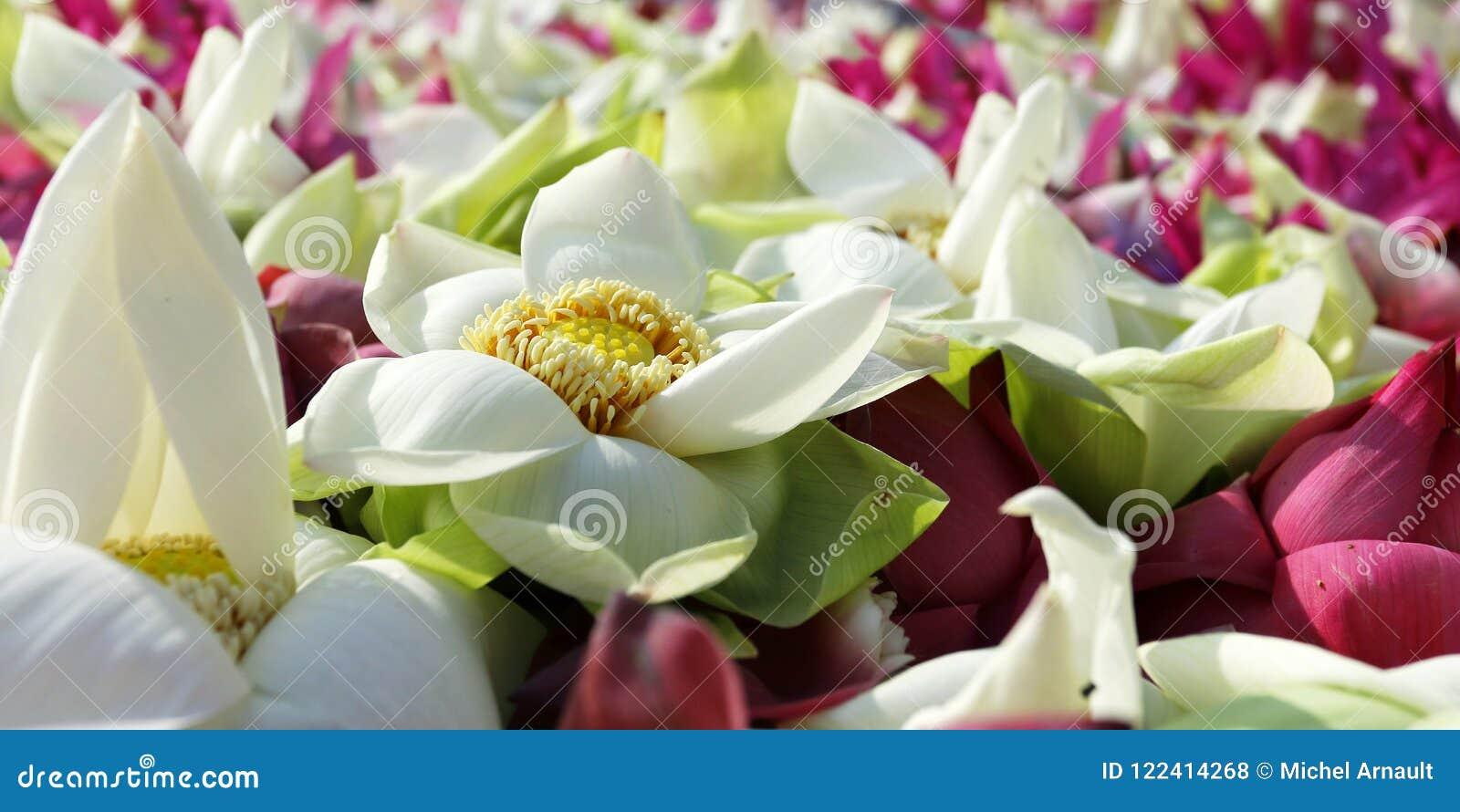 Flor De Loto En Templo Budista Foto De Archivo Imagen De Barco
