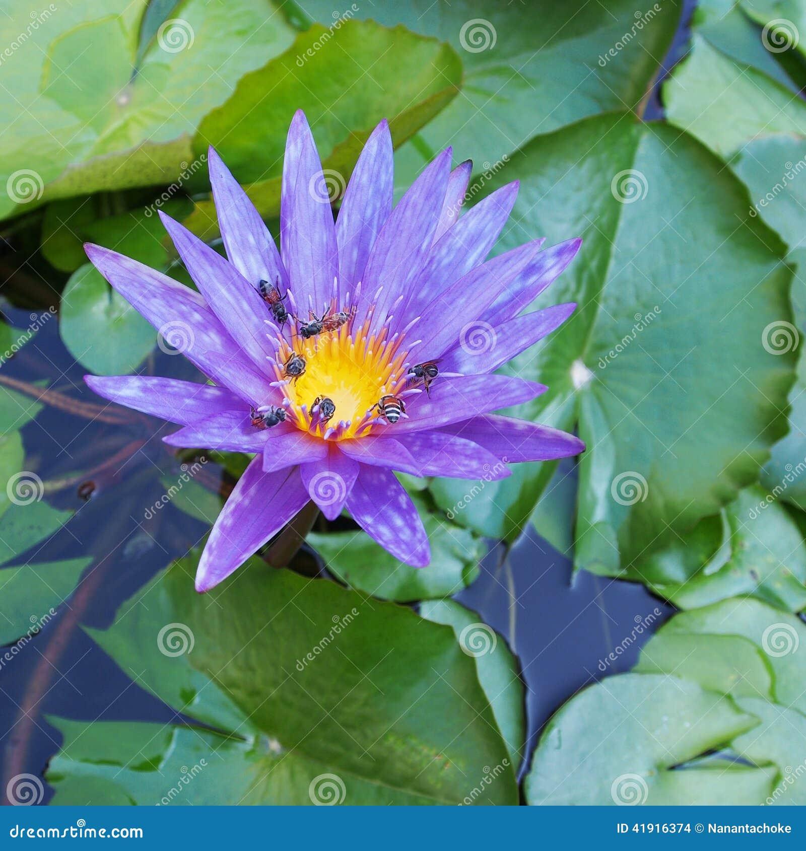 Flor de loto púrpura hermosa
