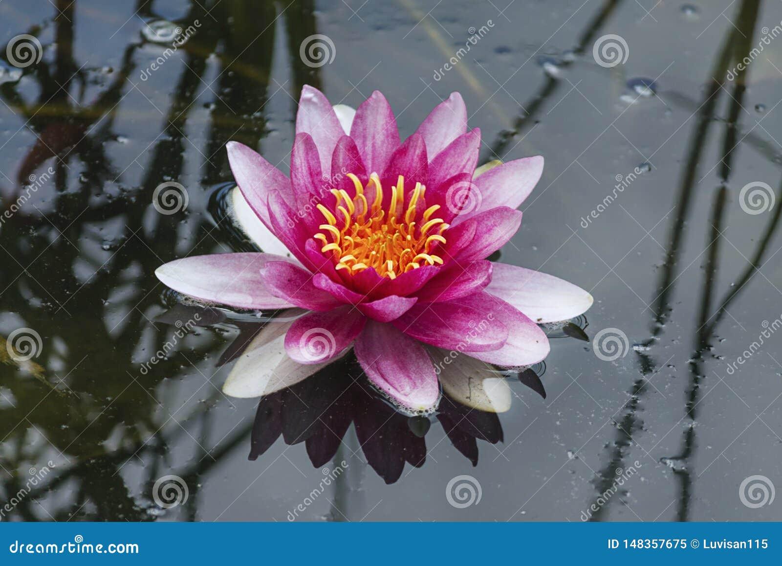 Flor de loto rosada hermosa en el agua del lago en fondo del parque