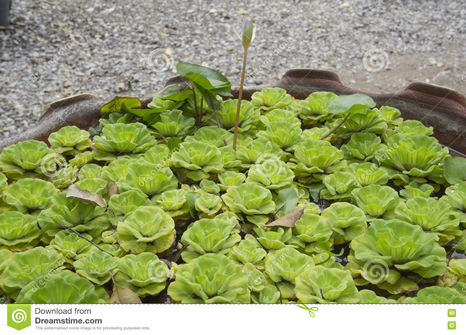 Flor De Loto Verde En La Charca De Cerámica Foto De Archivo Imagen