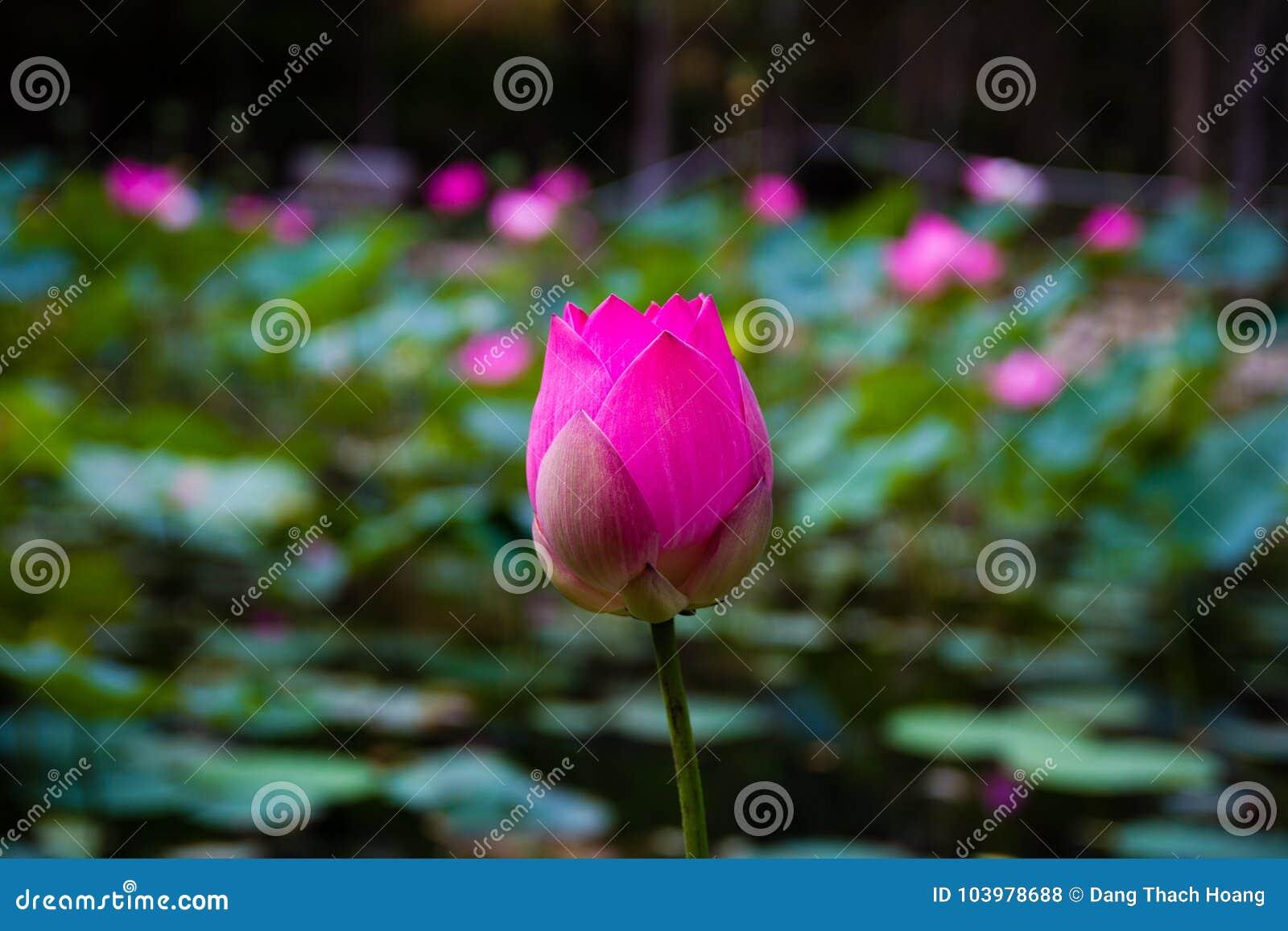 Flor de Lotus en la charca