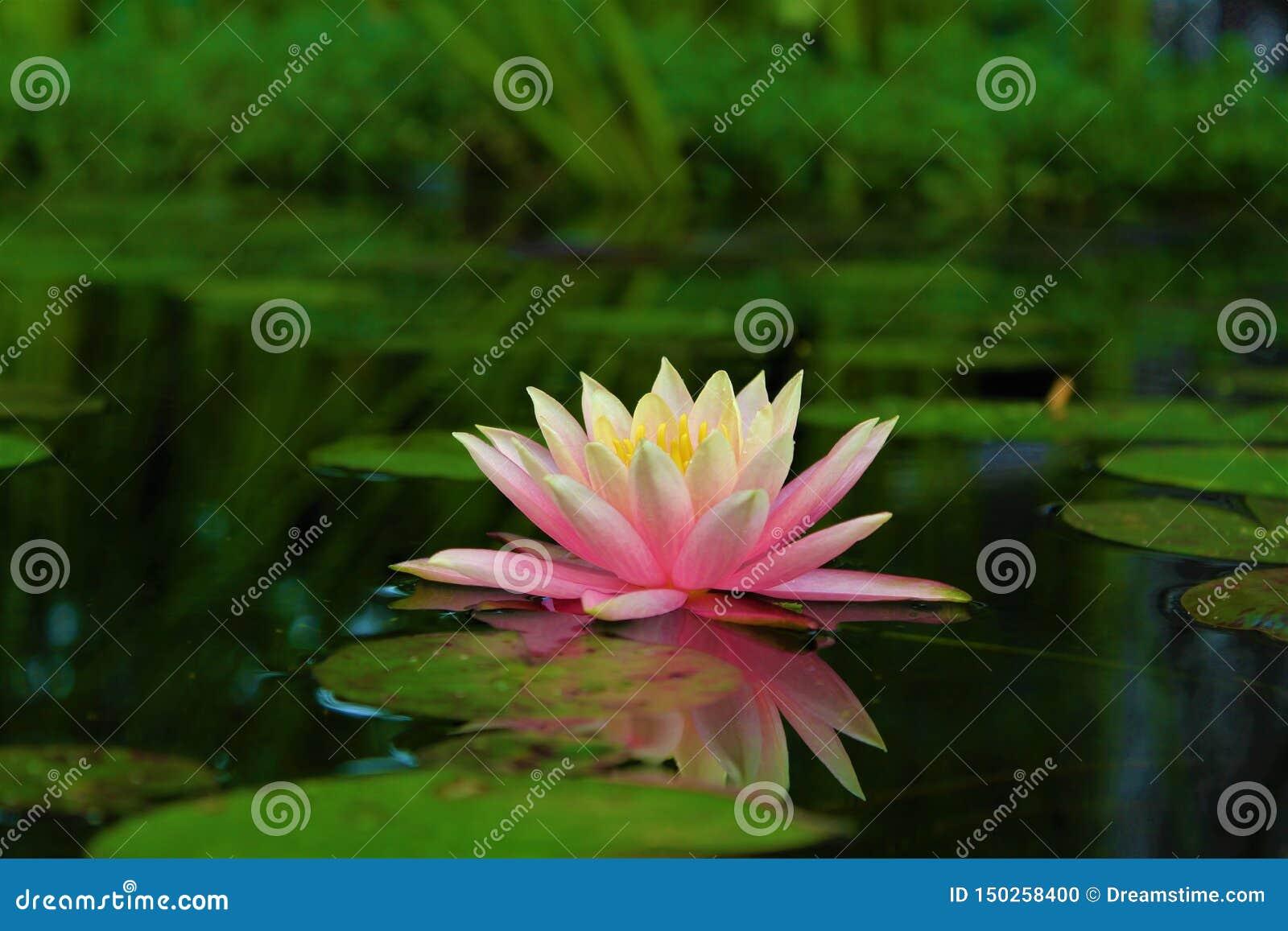 Flor de Lotus na ?gua