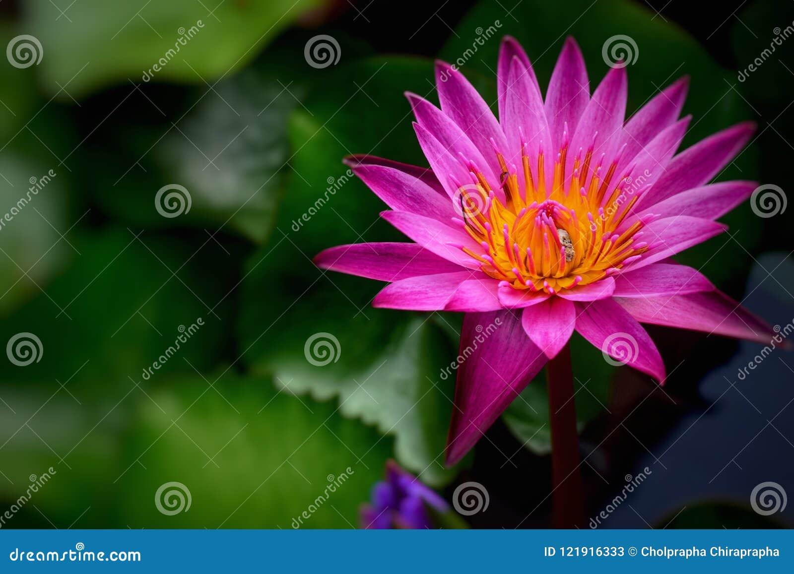 Flor de Lotus púrpura, fondos de la flor