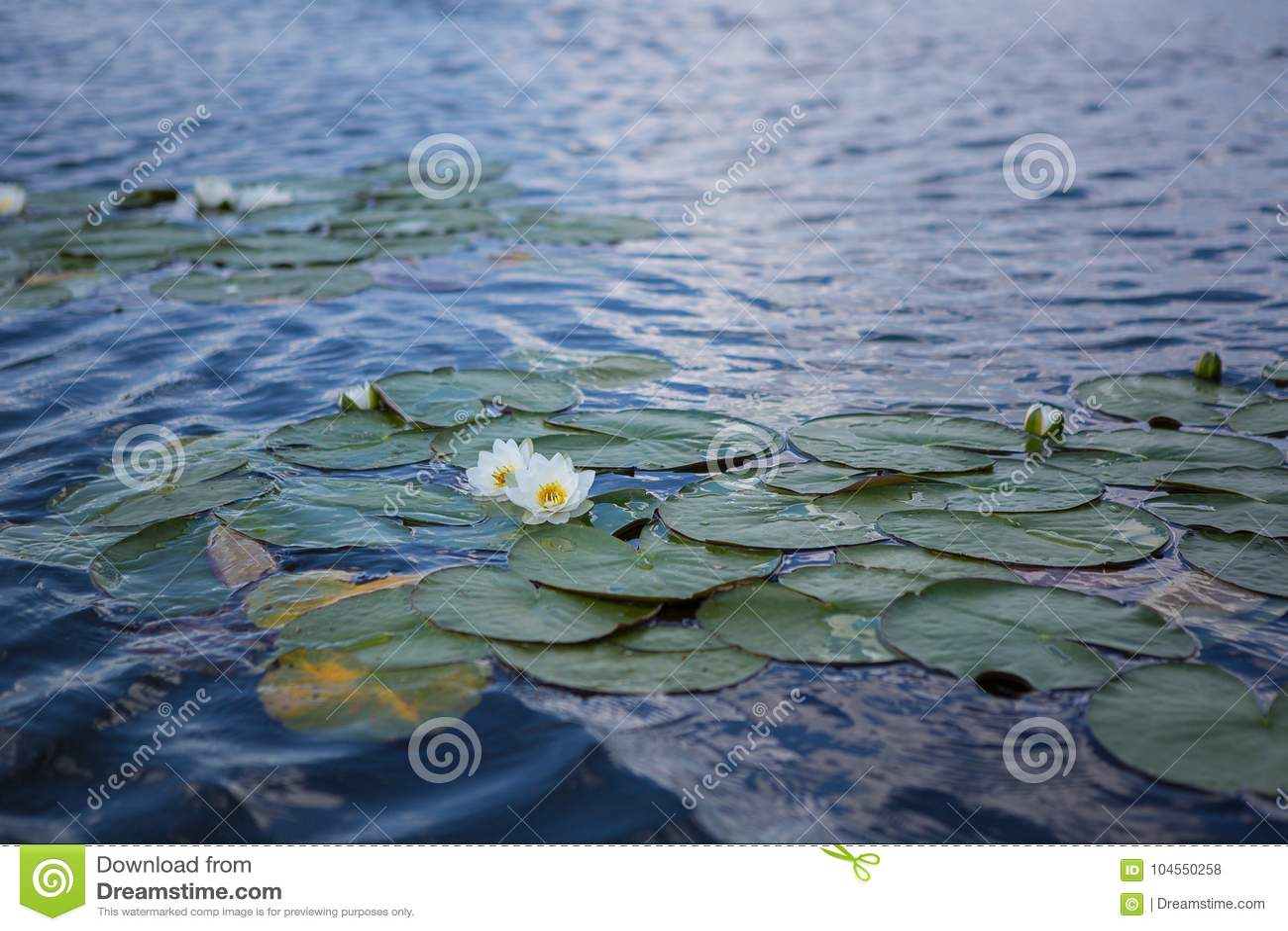 Flor de Lotus que floresce em um lago