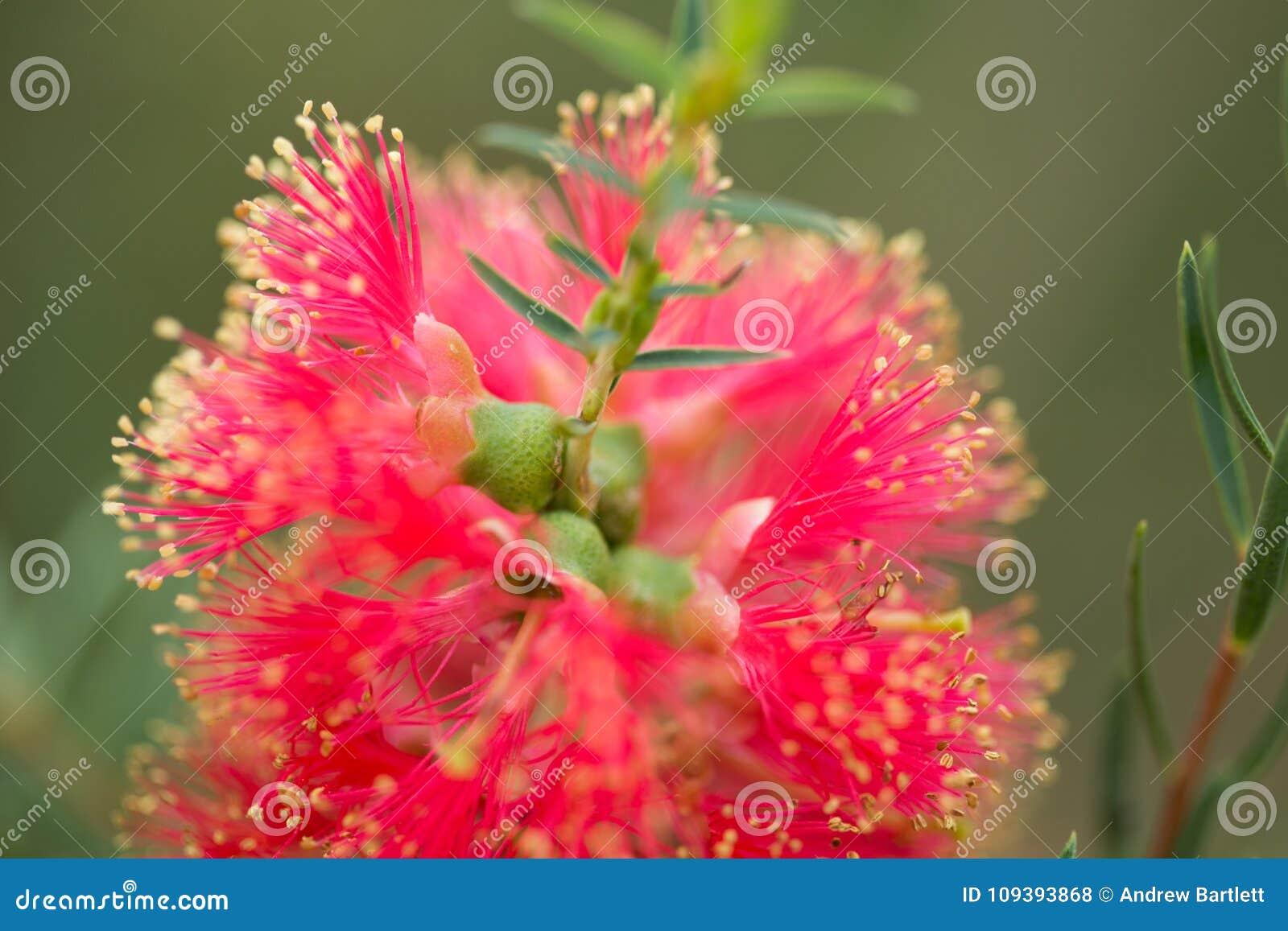 Flor de Melaleuca Fulgens en la floración