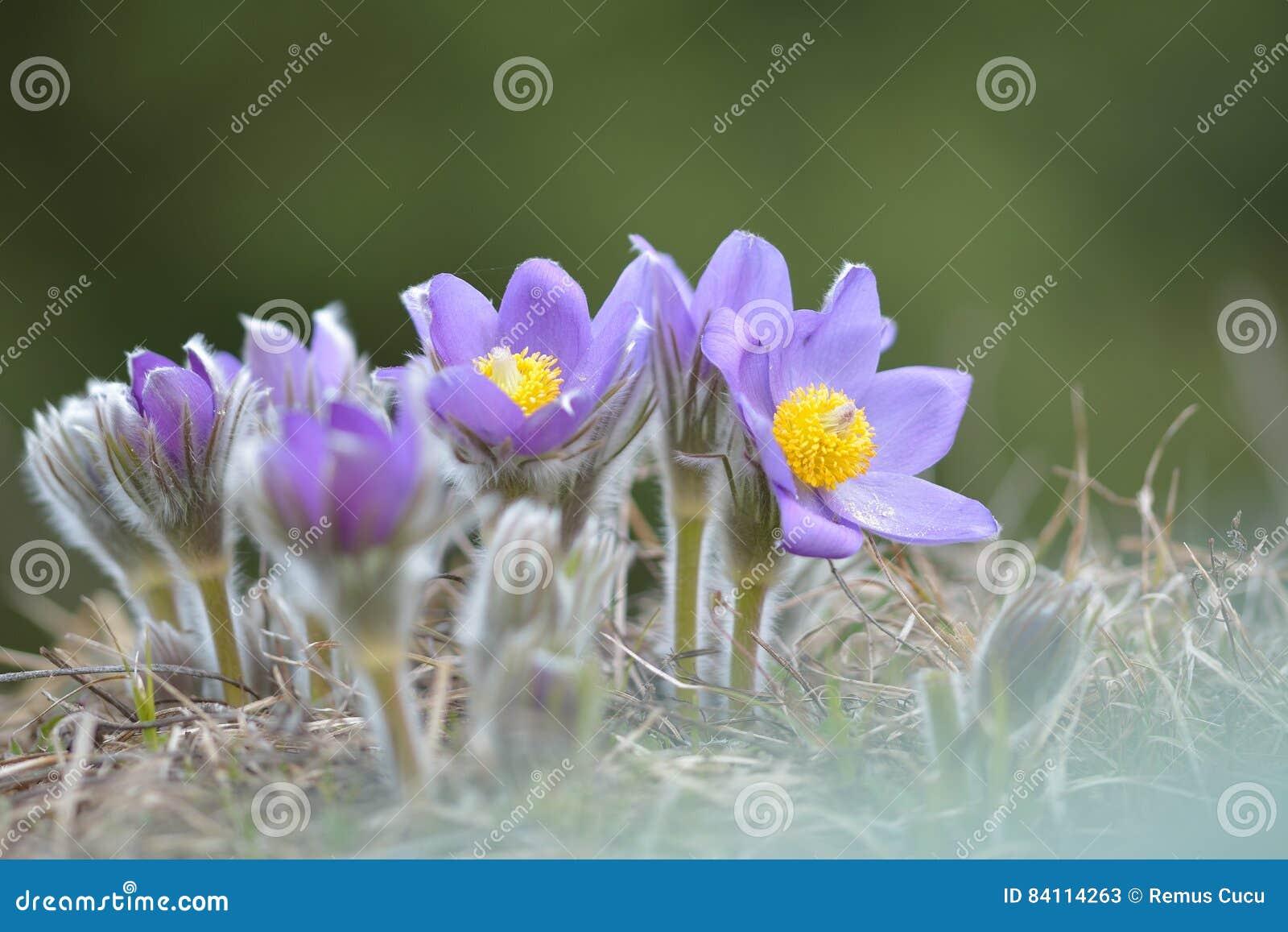 Flor de Pasque da montanha