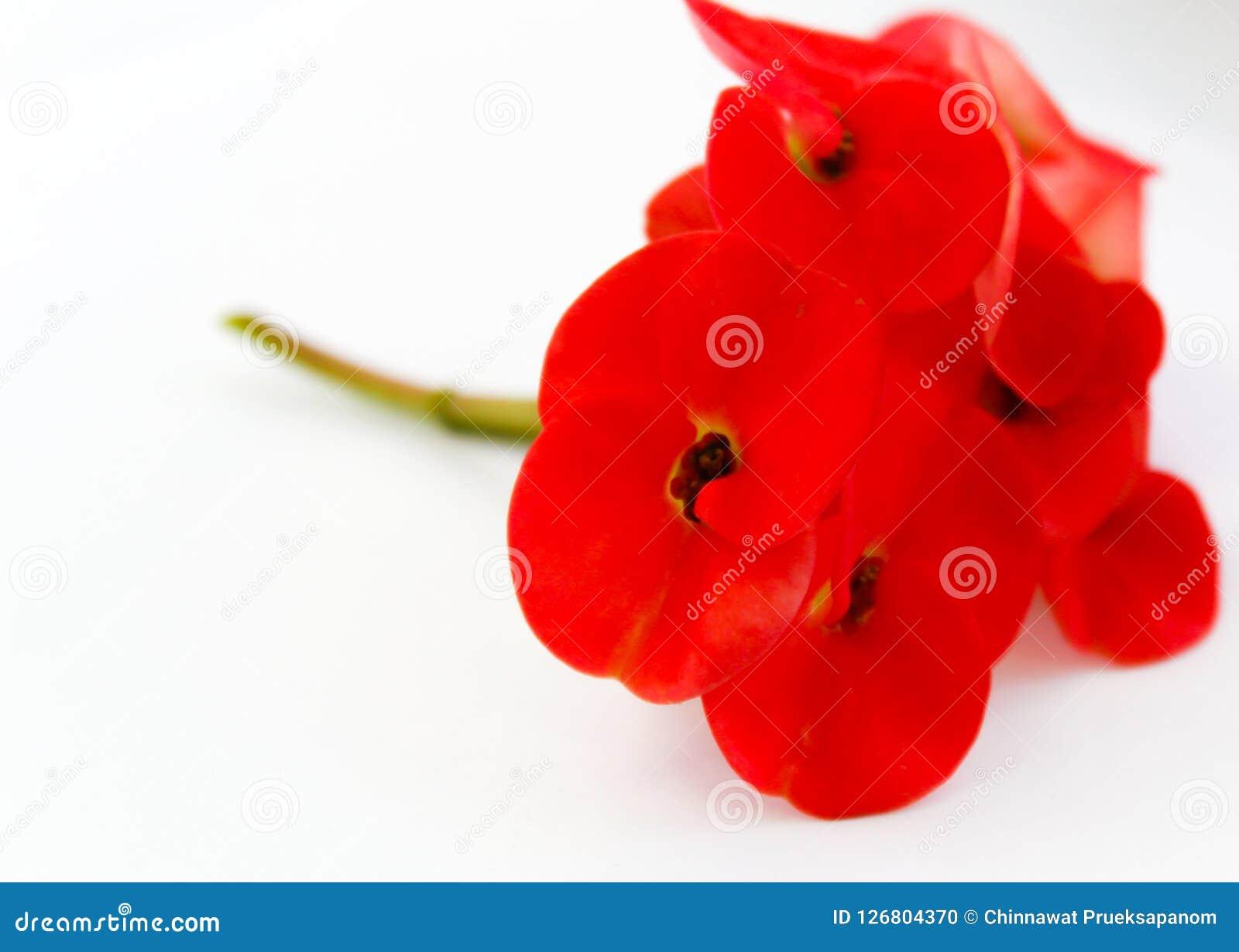 Flor de pavão alaranjada bonita que floresce, flor de pavão isolada no pulcherrima branco do backgroundCaesalpinia