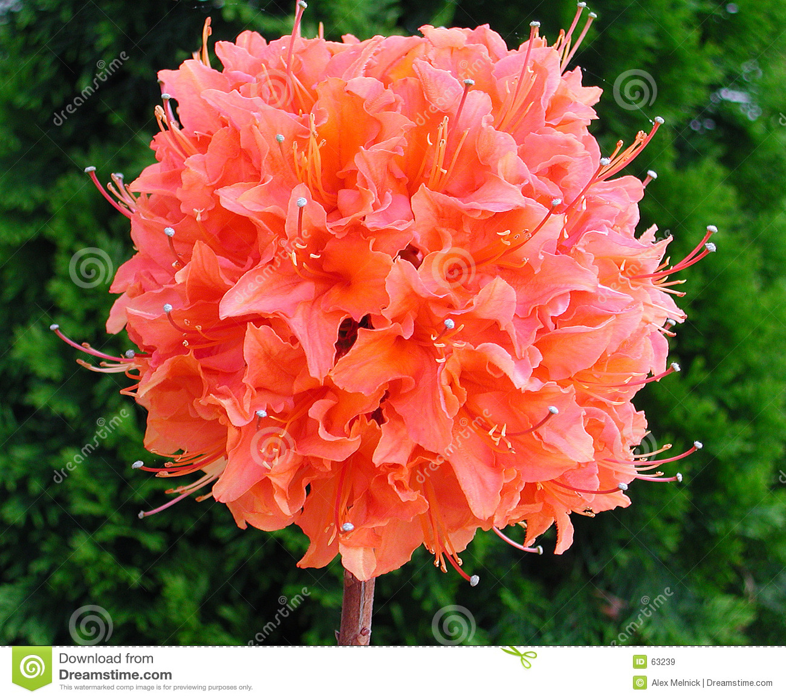 Flor de Pom Pom