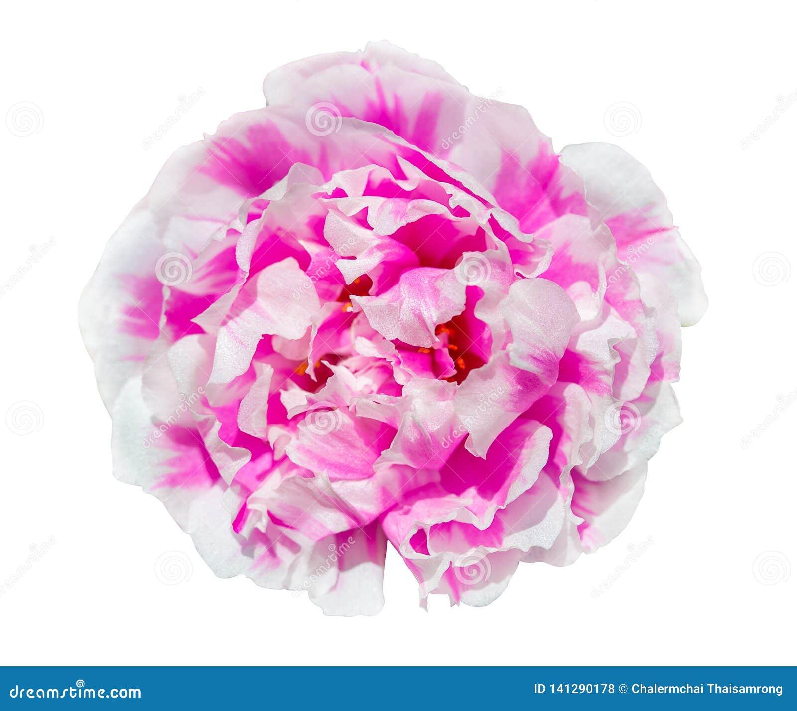 Flor de Portulaca isolada no fundo branco com trajeto de grampeamento