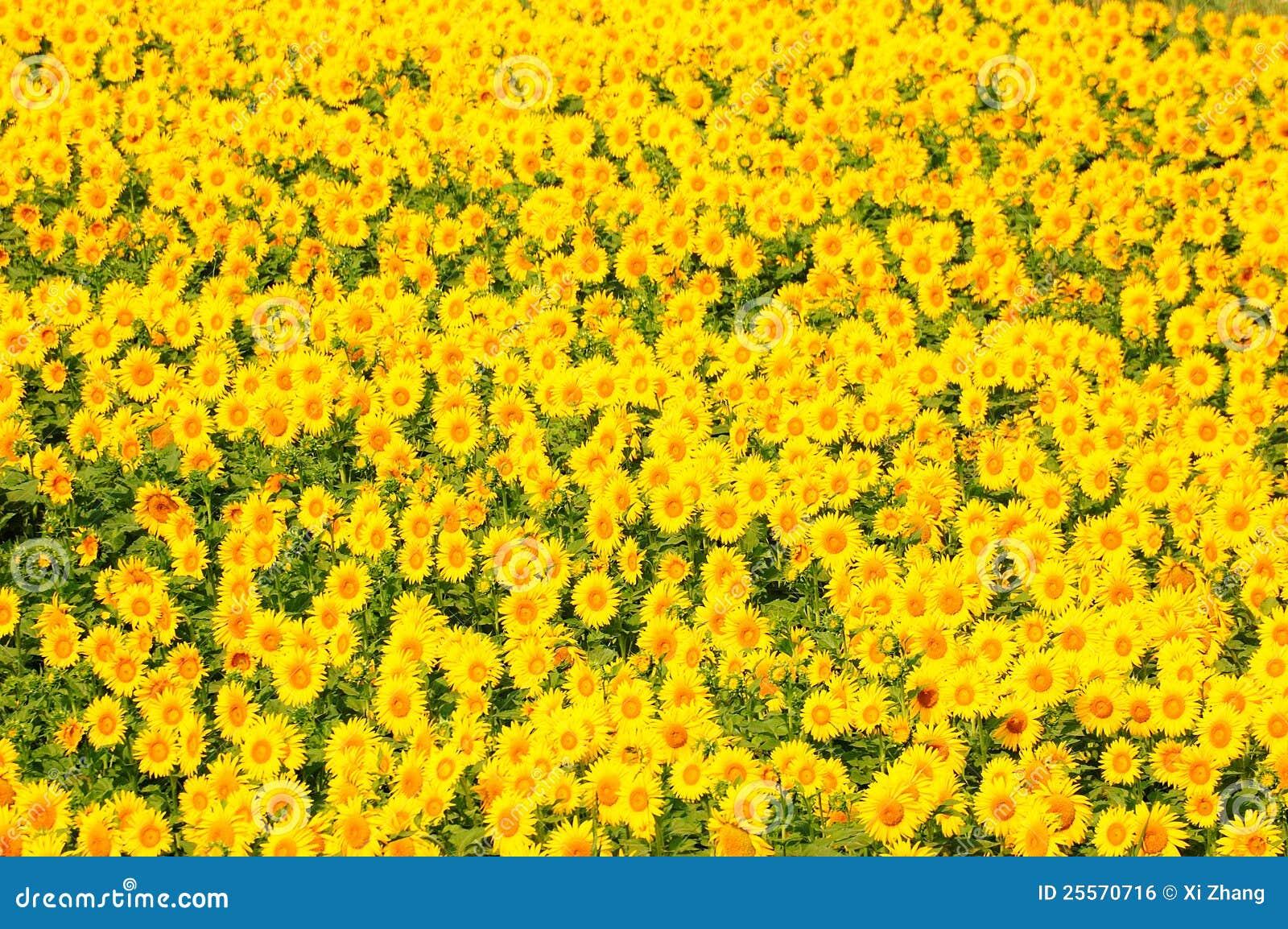 Flor de Sun