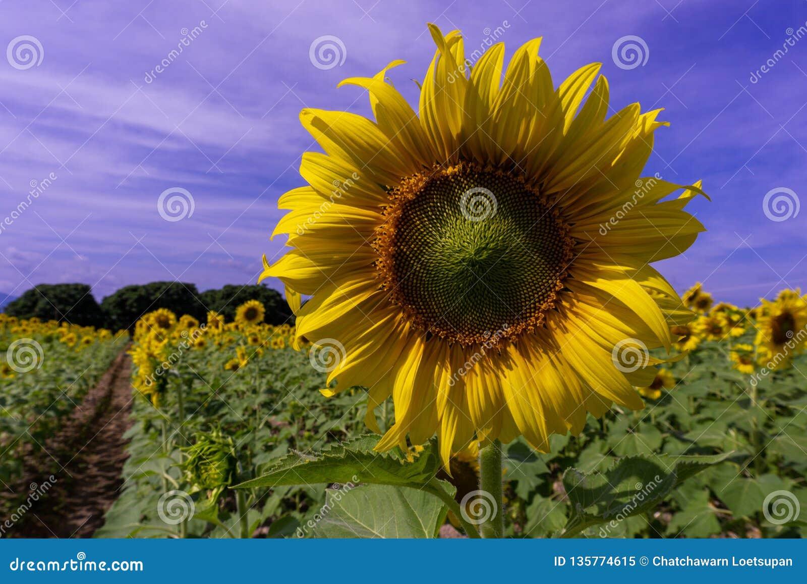 Flor de Sun no céu azul