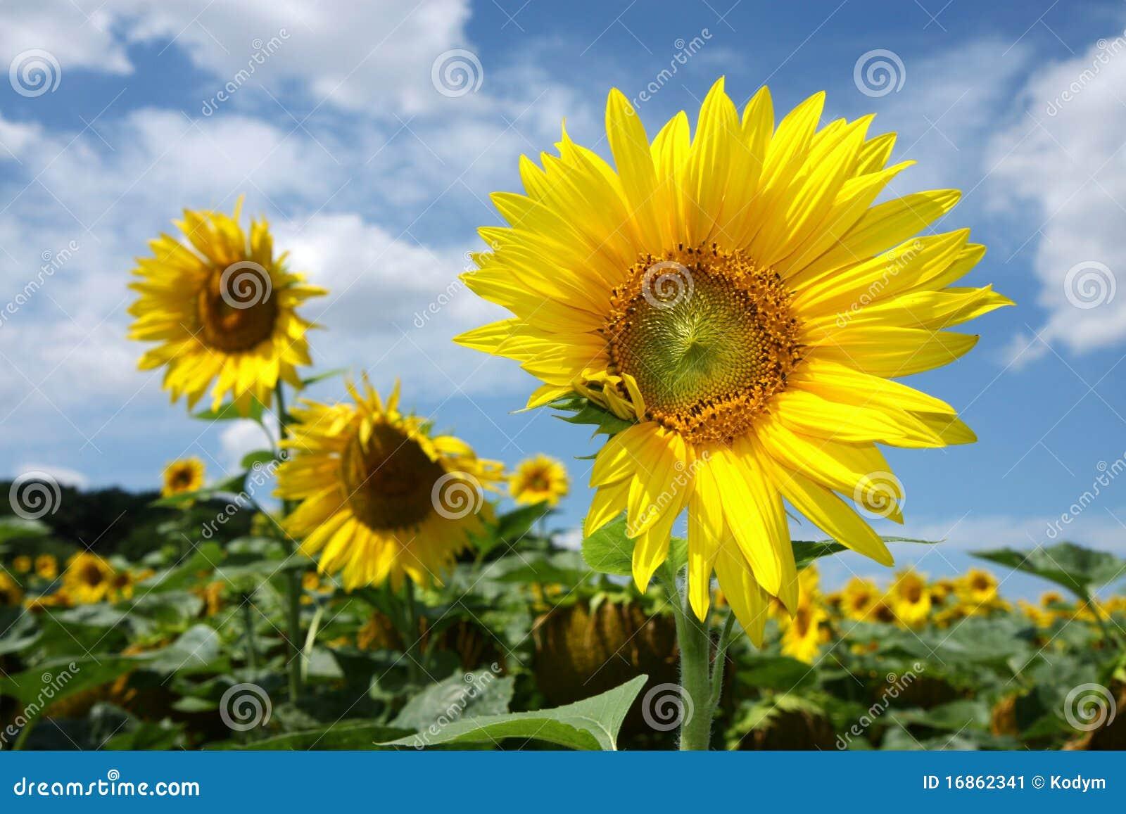 Flor de três girassóis sob o céu