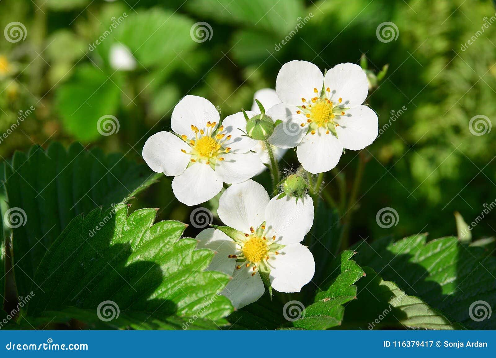 Flor de tres fresas en luz del sol