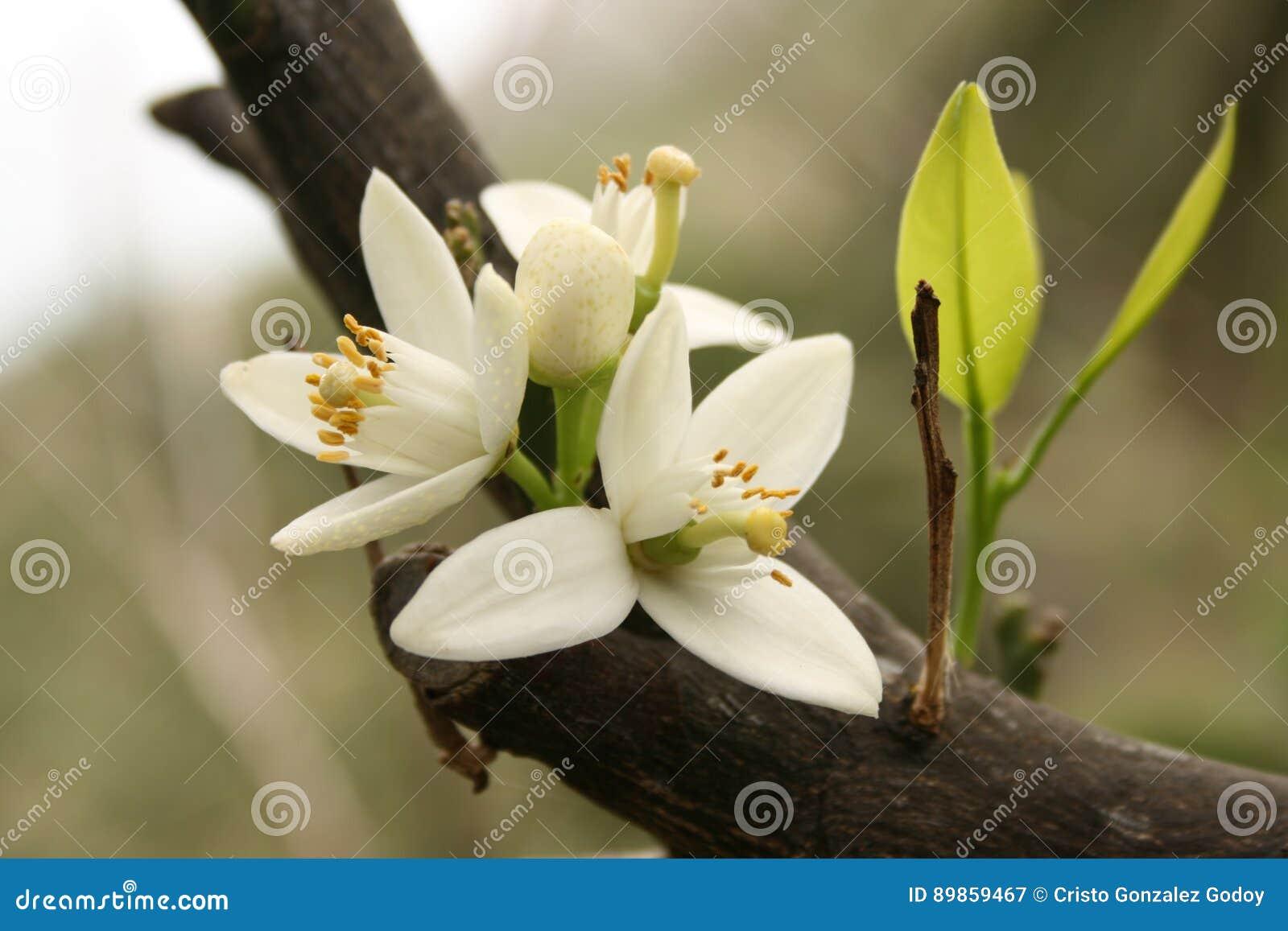 Flor de un árbol anaranjado