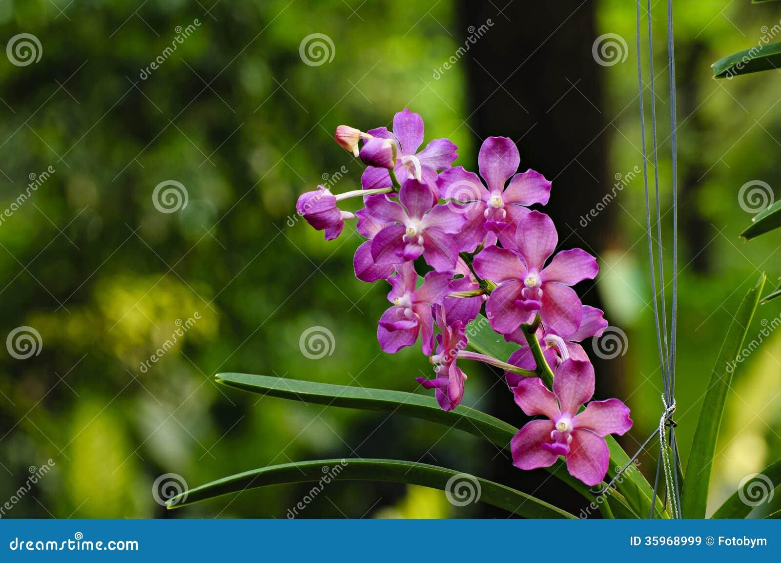 Flor de Violet Orchid