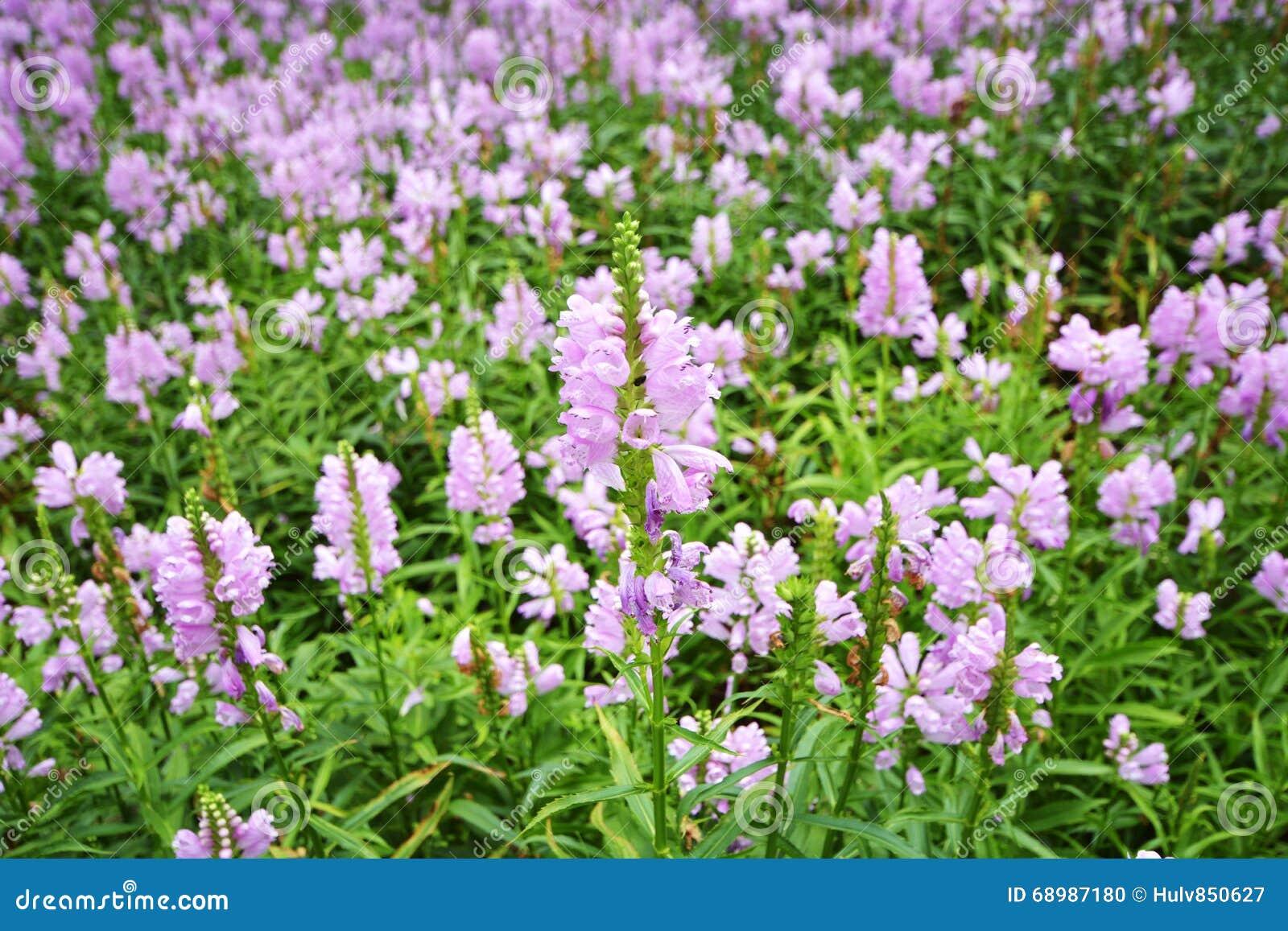 Flor de Virginiana del Physostegia