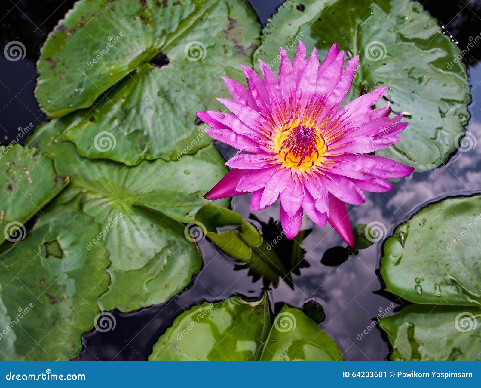 Flor de WaterLily