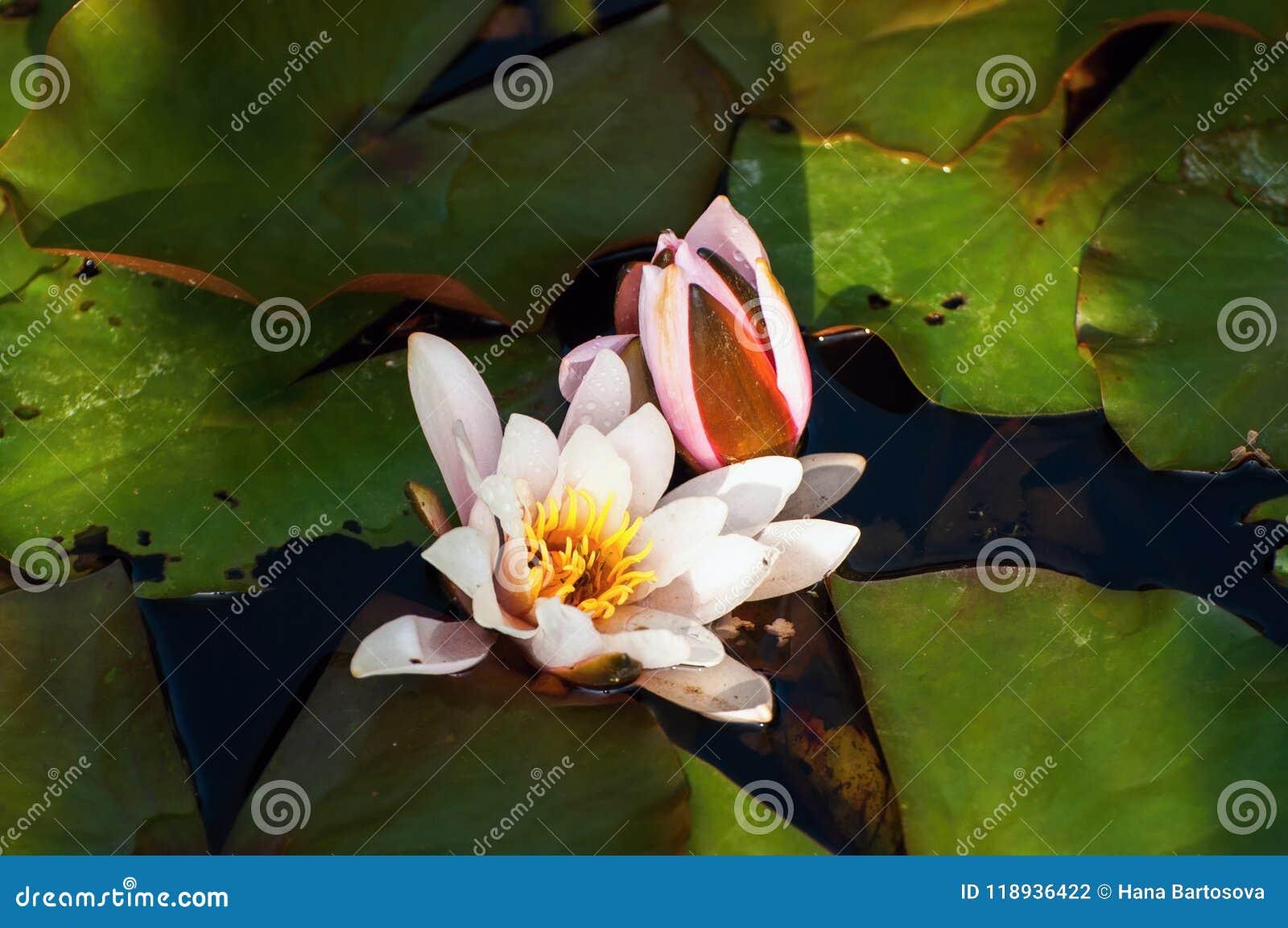 Flor de Waterlily en la charca