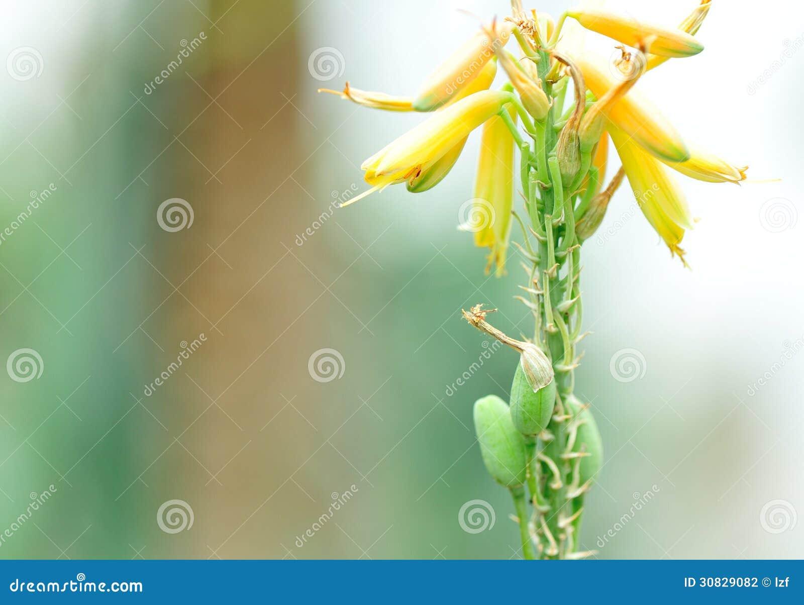 Flor del áloe