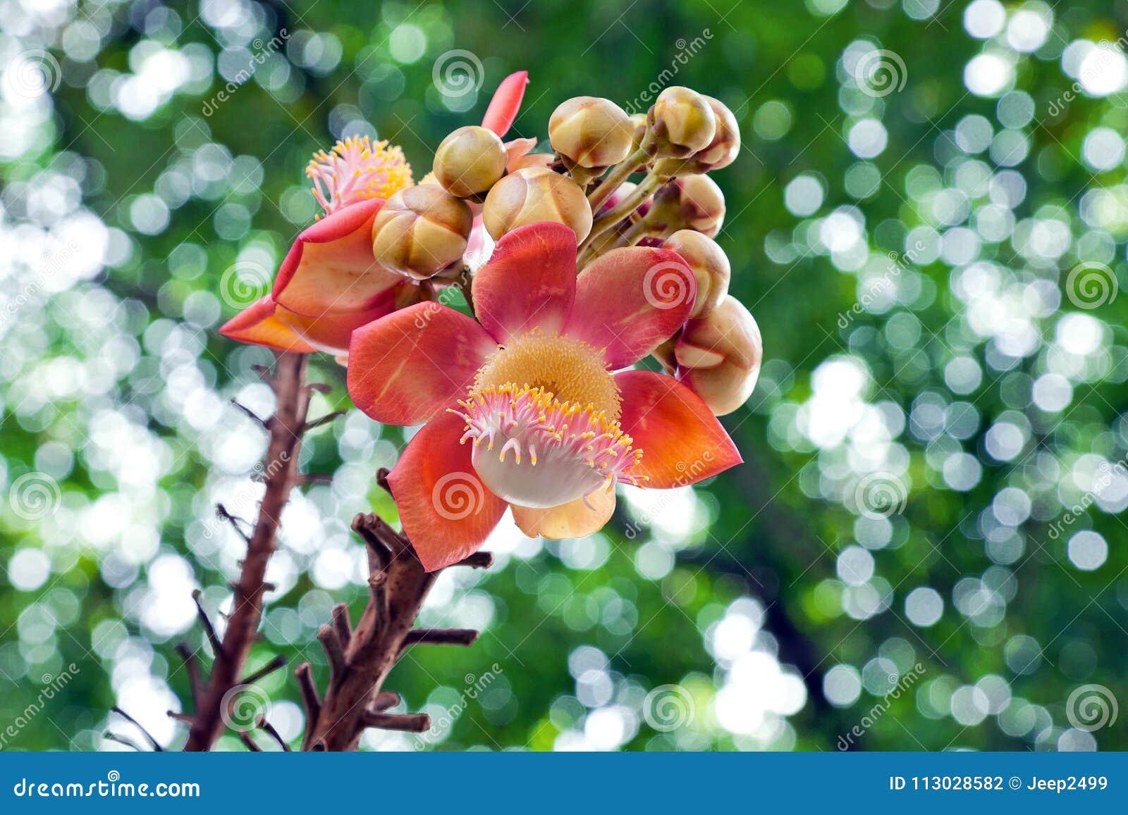 Flor del árbol de la bola de cañón