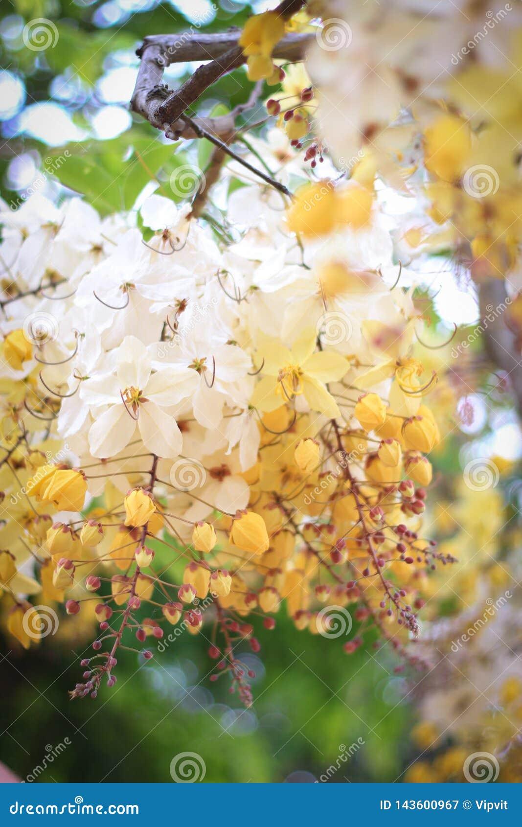 Flor del árbol de la ducha de arco iris o Ratchaphruek blanco