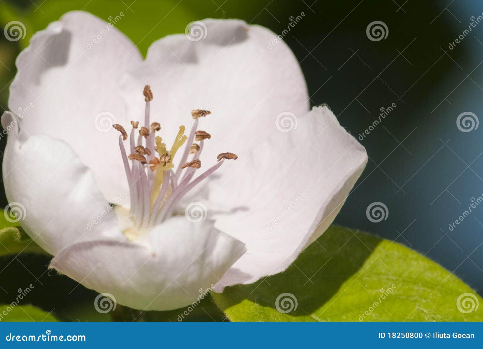 Flor del rbol de membrillo foto de archivo imagen 18250800 - Arbol de membrillo ...