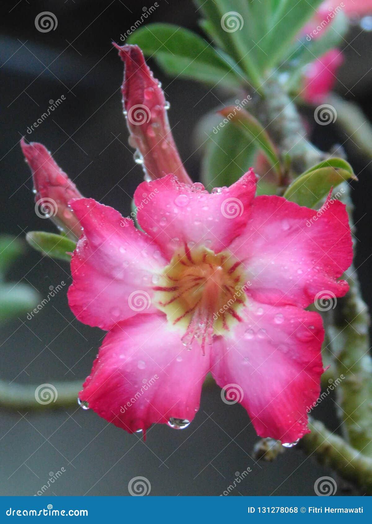 Flor del Adenium