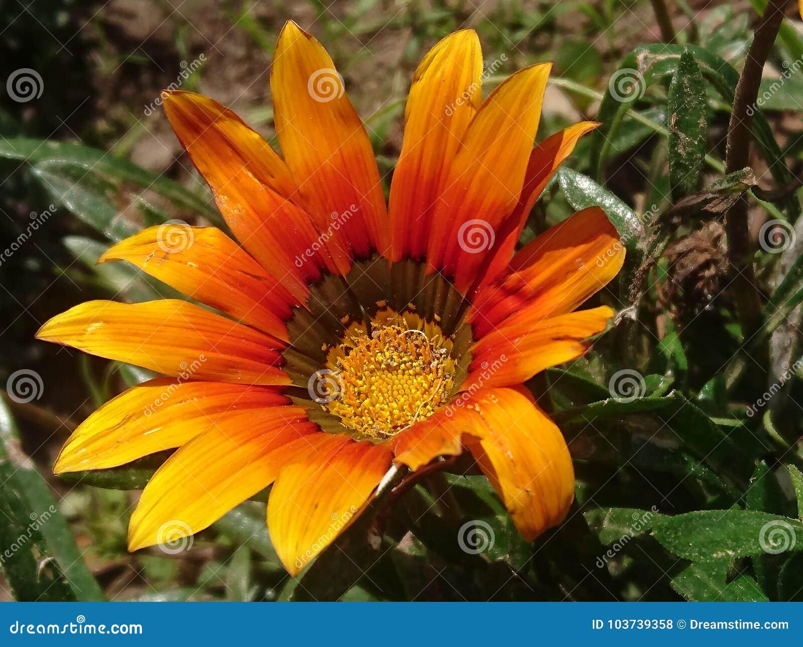 Flor del amarillo de domingo