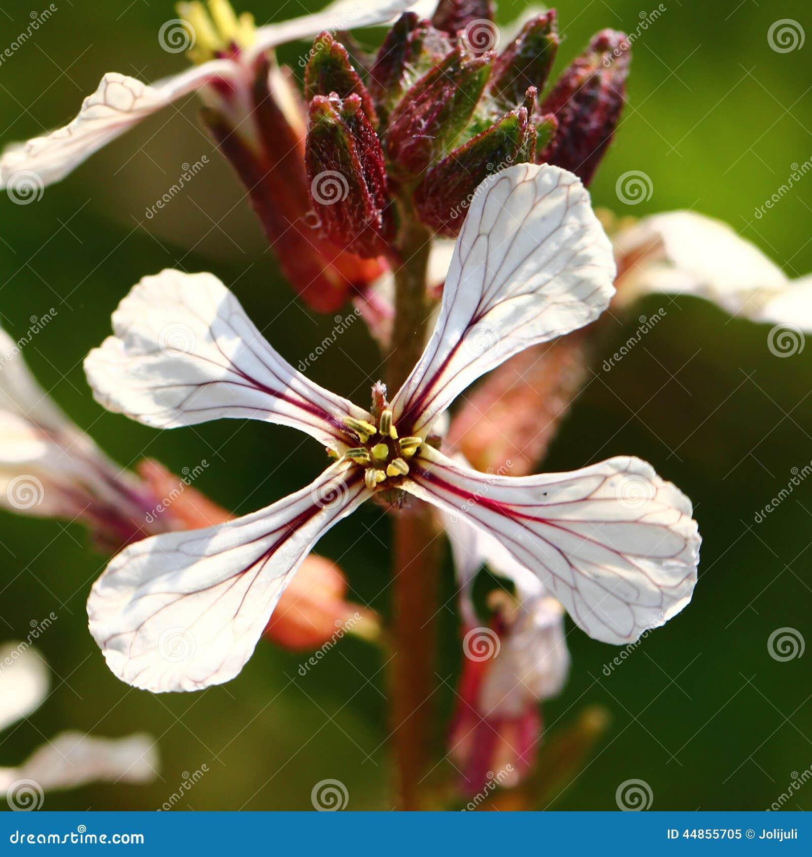 Flor del Arugula