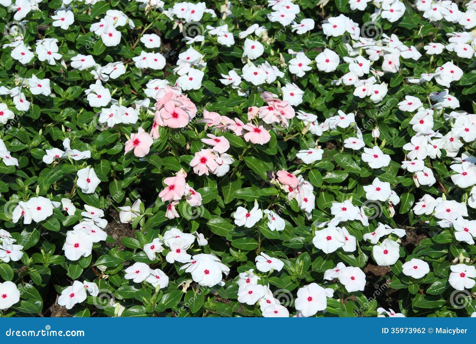 Flor del bígaro