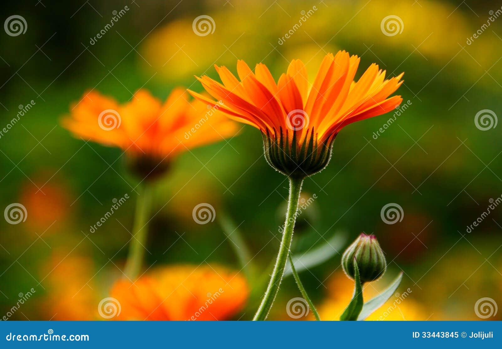 Flor del Calendula