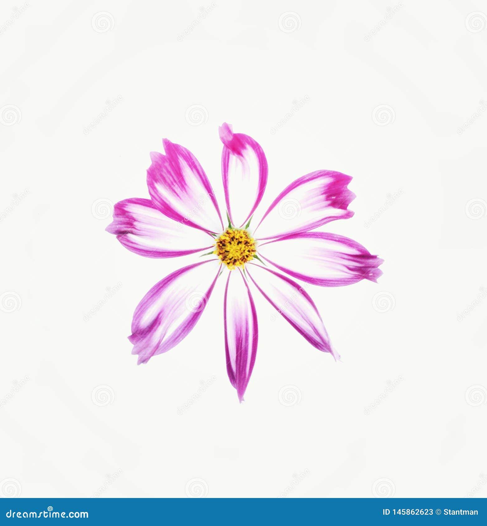 Flor del cosmos aislada en el fondo blanco
