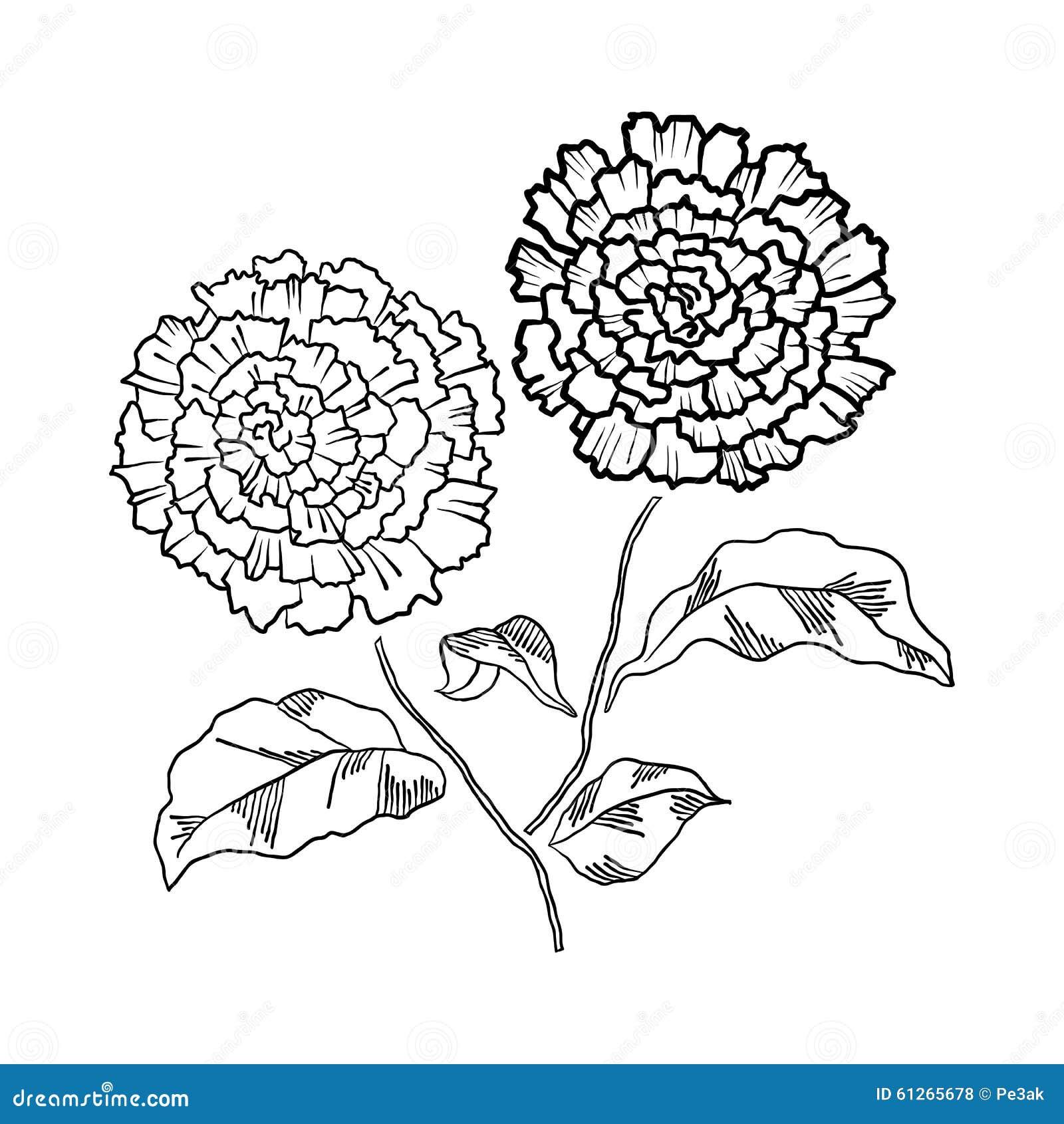 Flor Del Crisantemo Del Dibujo De La Mano Del Vector Stock de ...