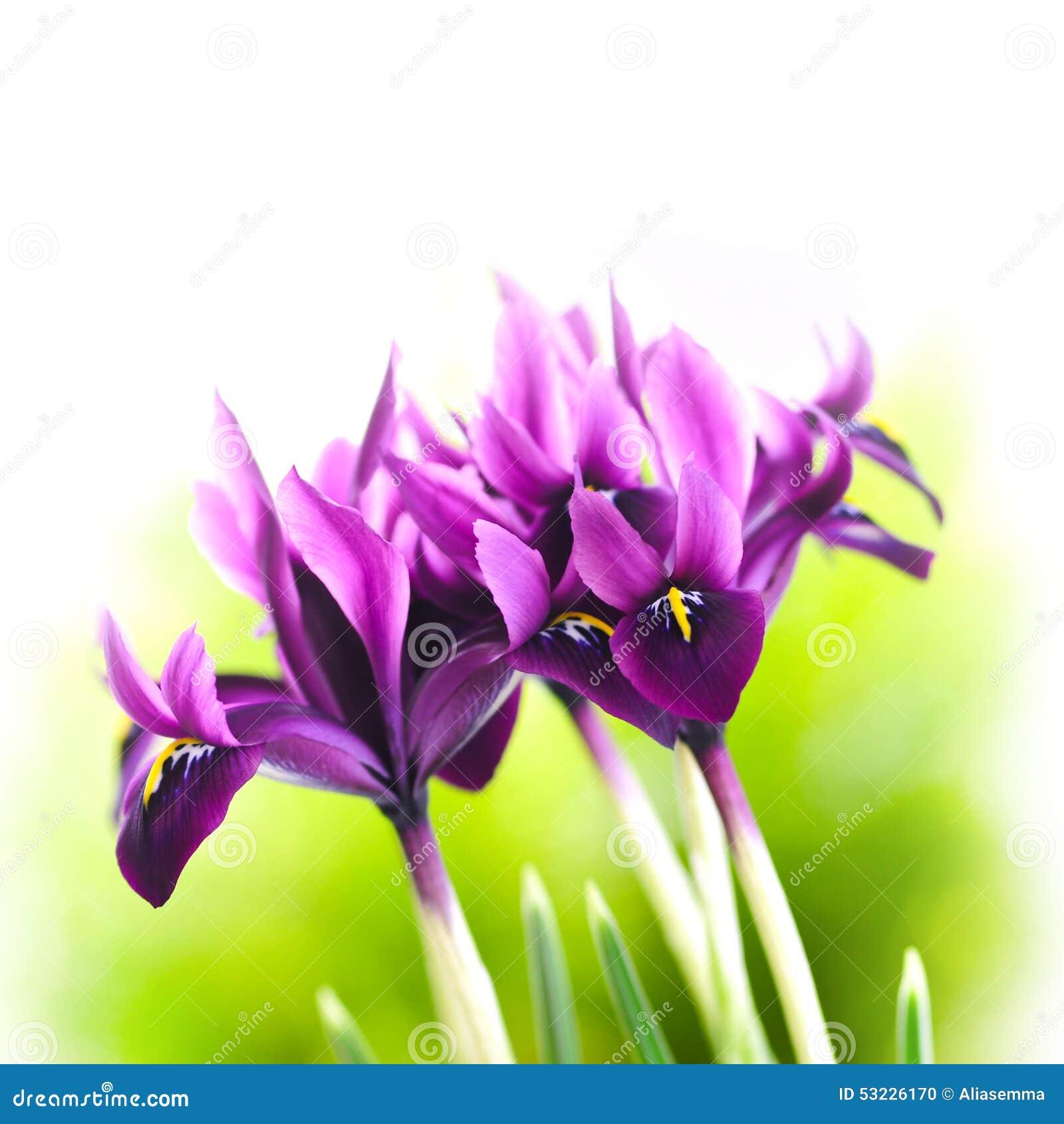 Flor del diafragma