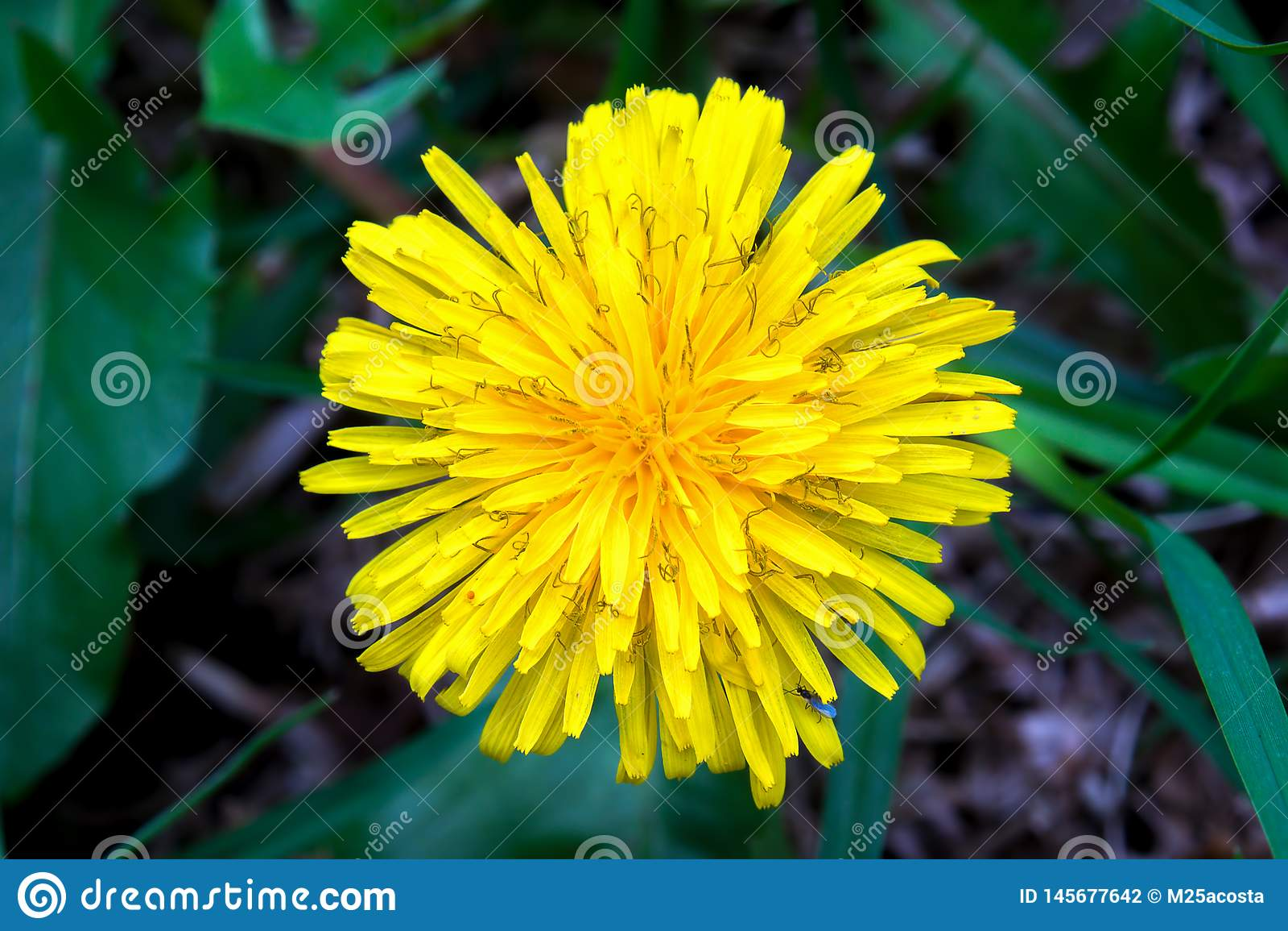 Flor del diente de león del top