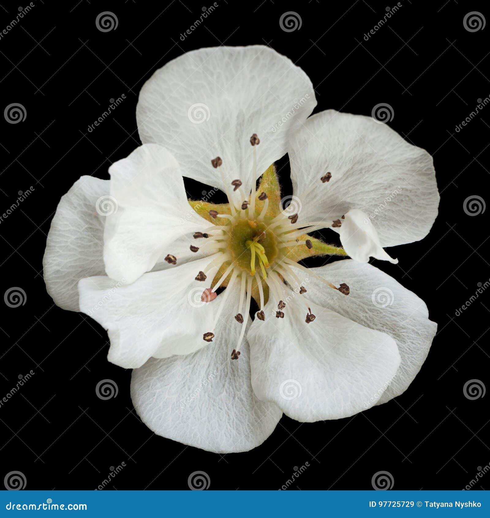 Flor del flor de la pera en negro