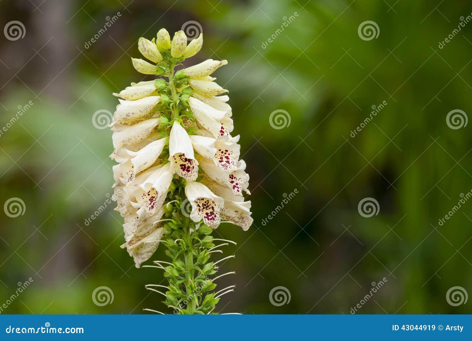 Flor del Foxglove (purpurea de la digital)