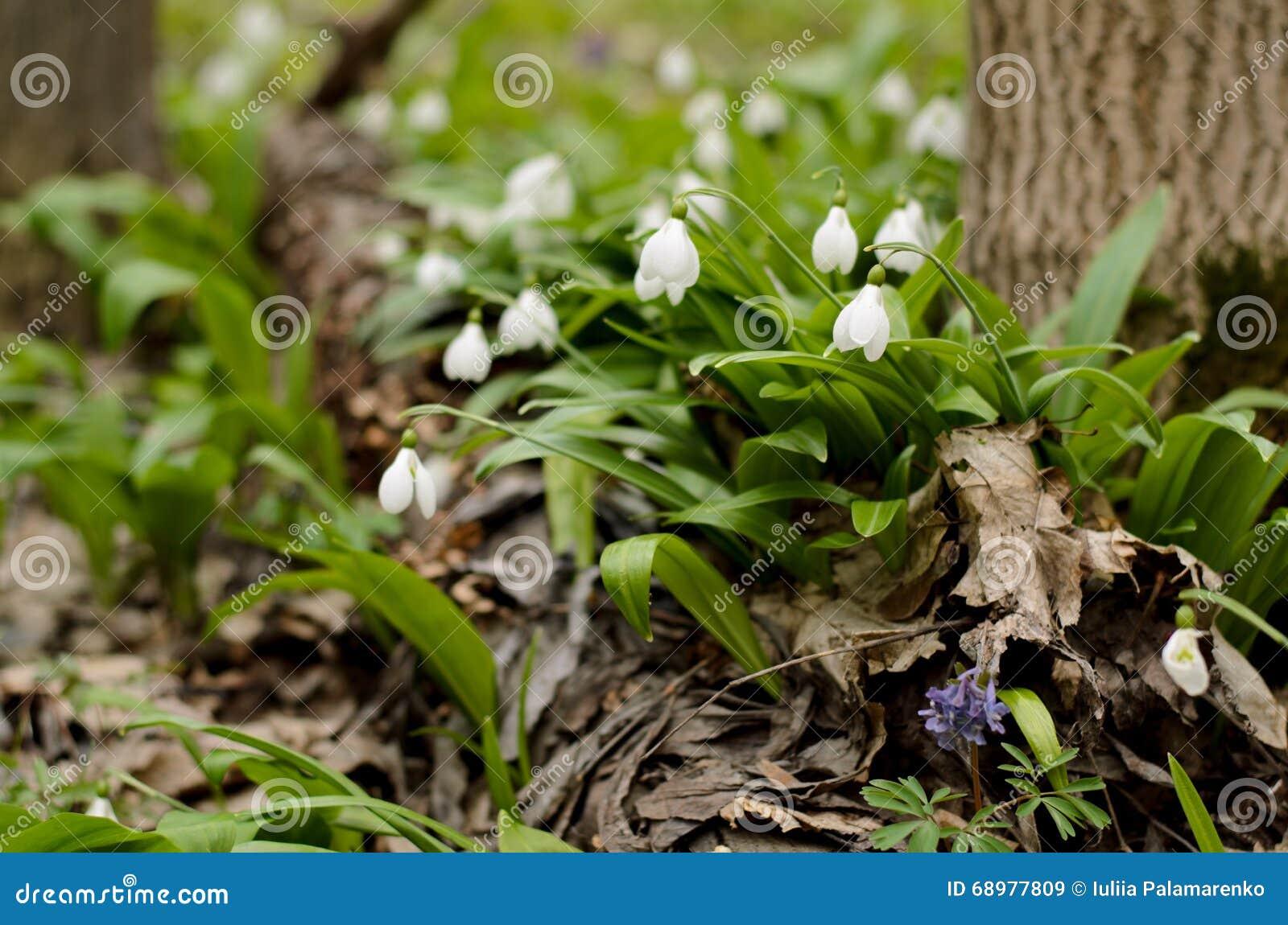 Flor del galanthus de Snowdrop