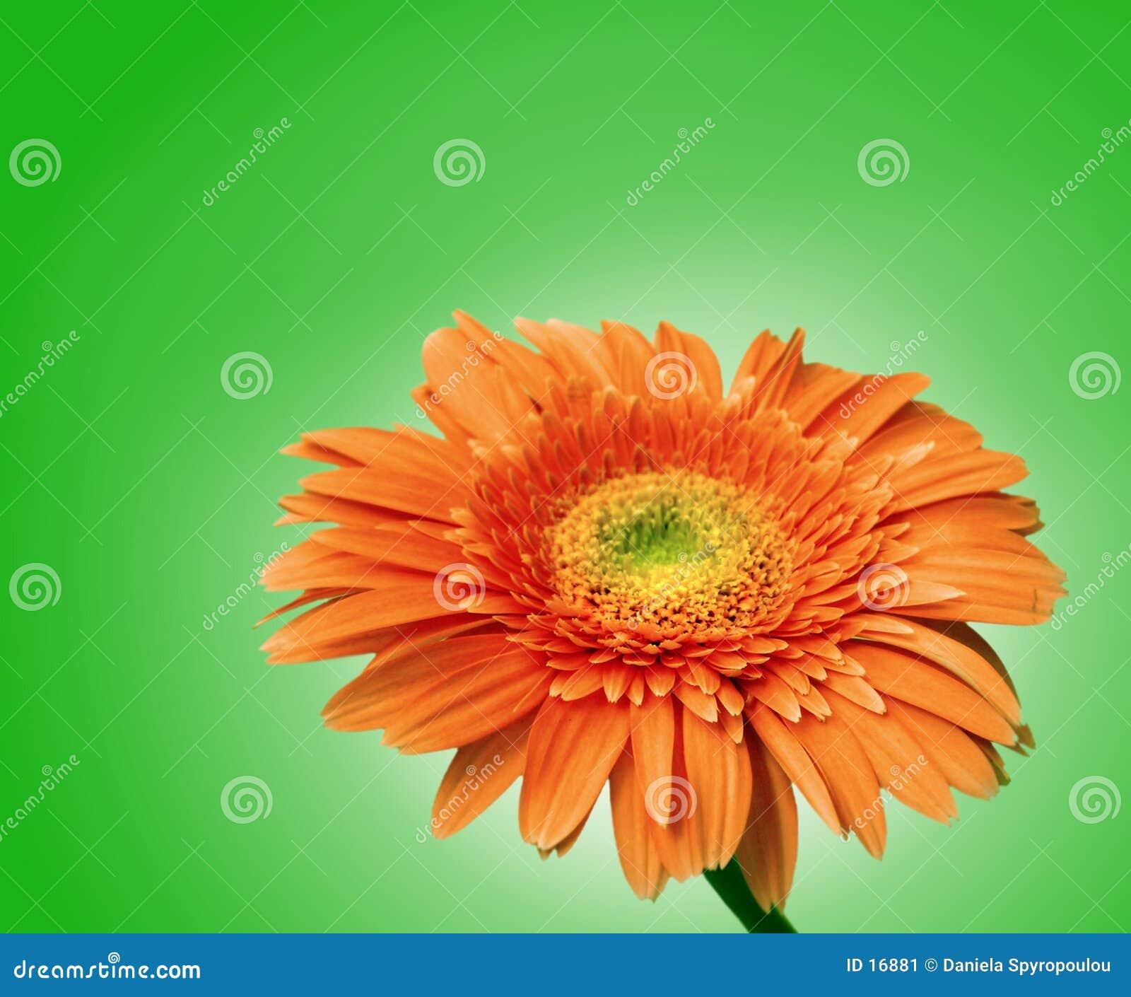 Flor del Gerbera aislada con el camino de recortes